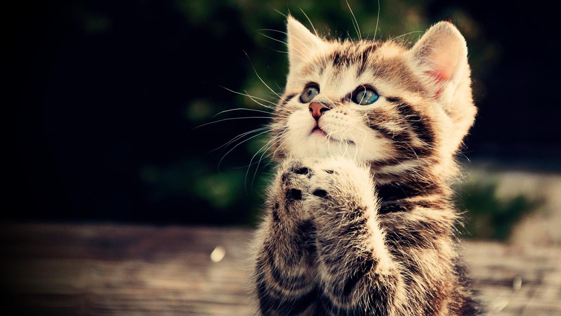 kitten gesture fluffy cute