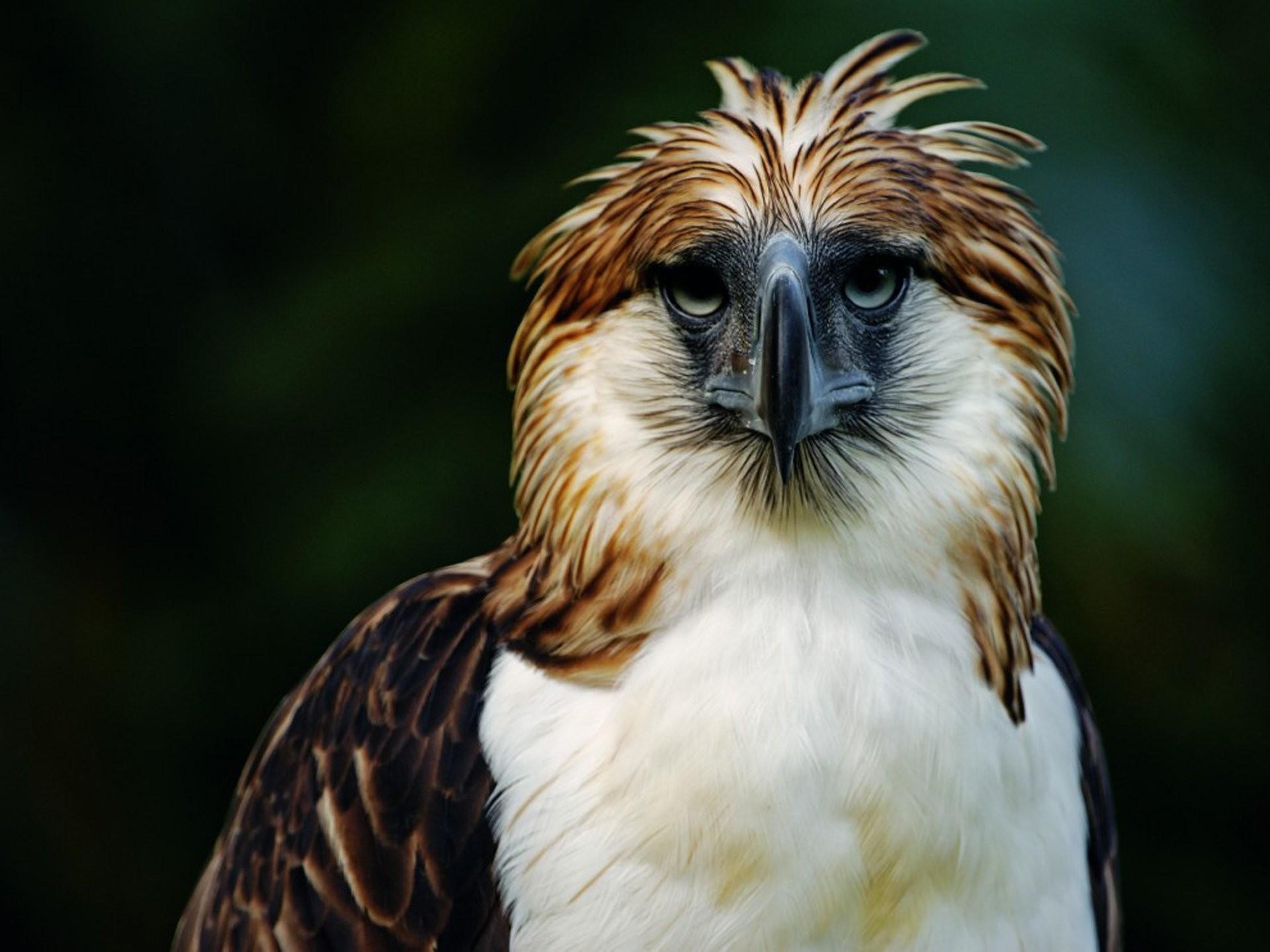 HD Wallpaper   Background ID:343845. Animal Philippine Eagle