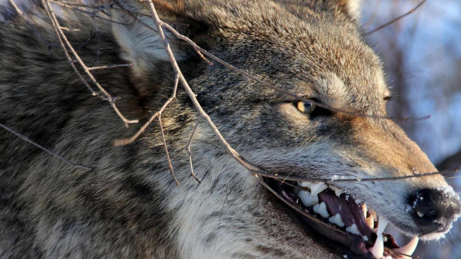 оскал волка фото на рабочий стол клиника курортологии один