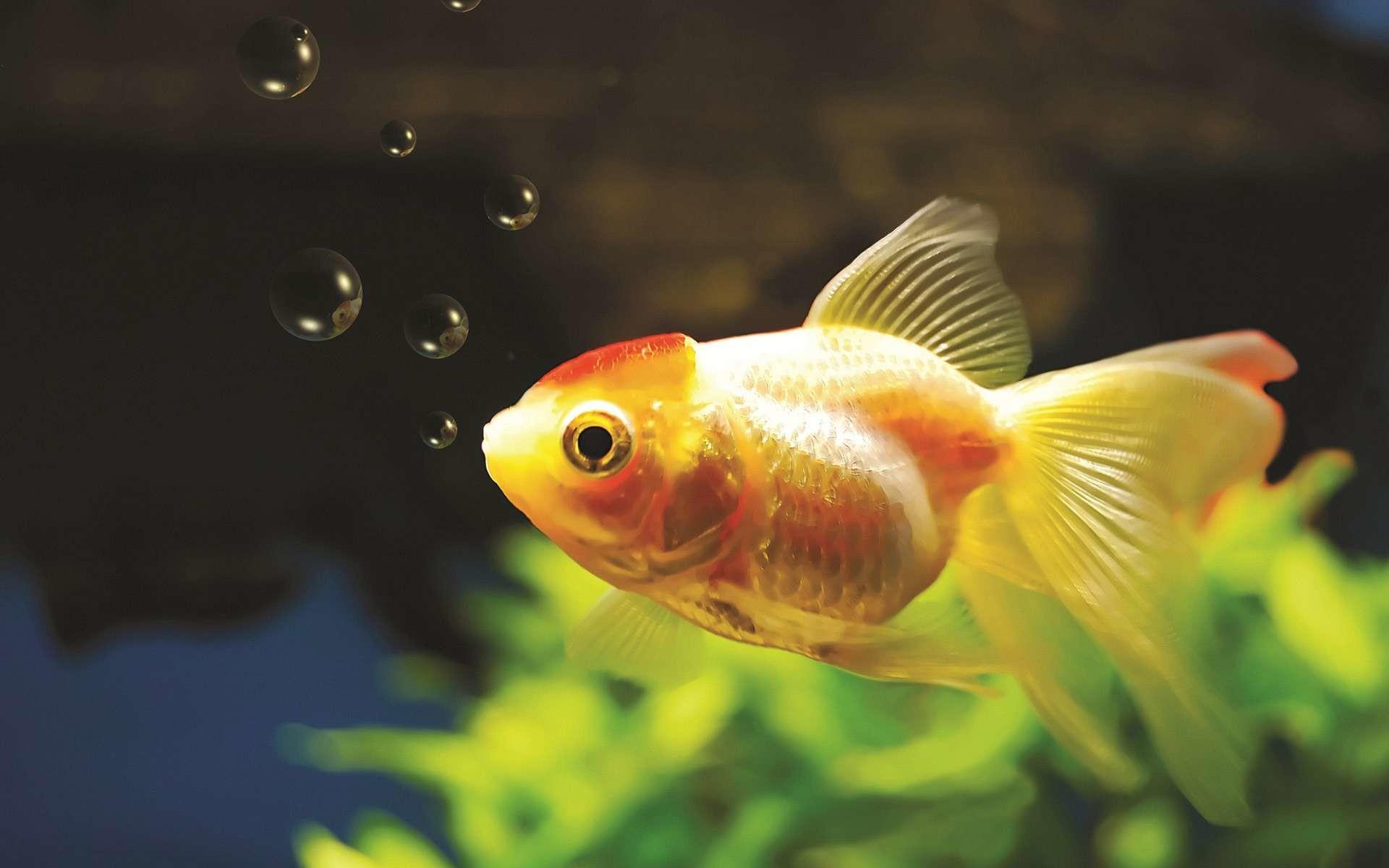10 Goldfish Wallpapers   Goldfish Backgrounds