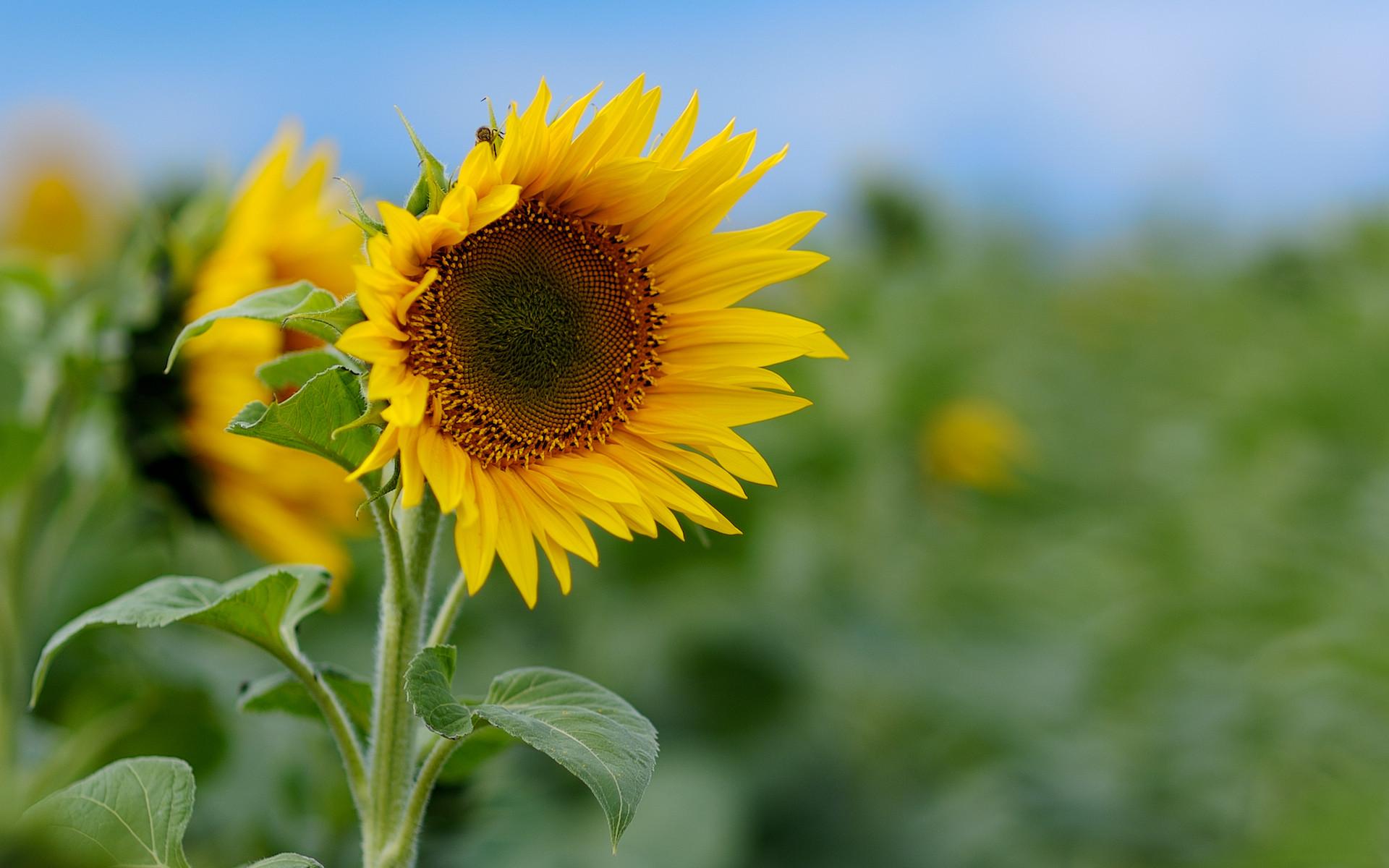 Eine Sonnenblume für meine Frau
