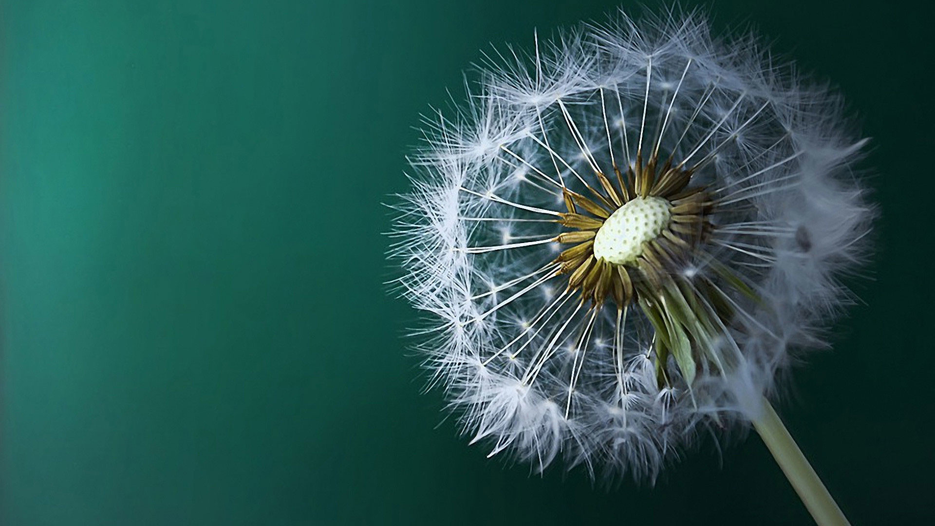 hd pics photos best stunning dandelion macro nature awesome hd quality  desktop background wallpaper