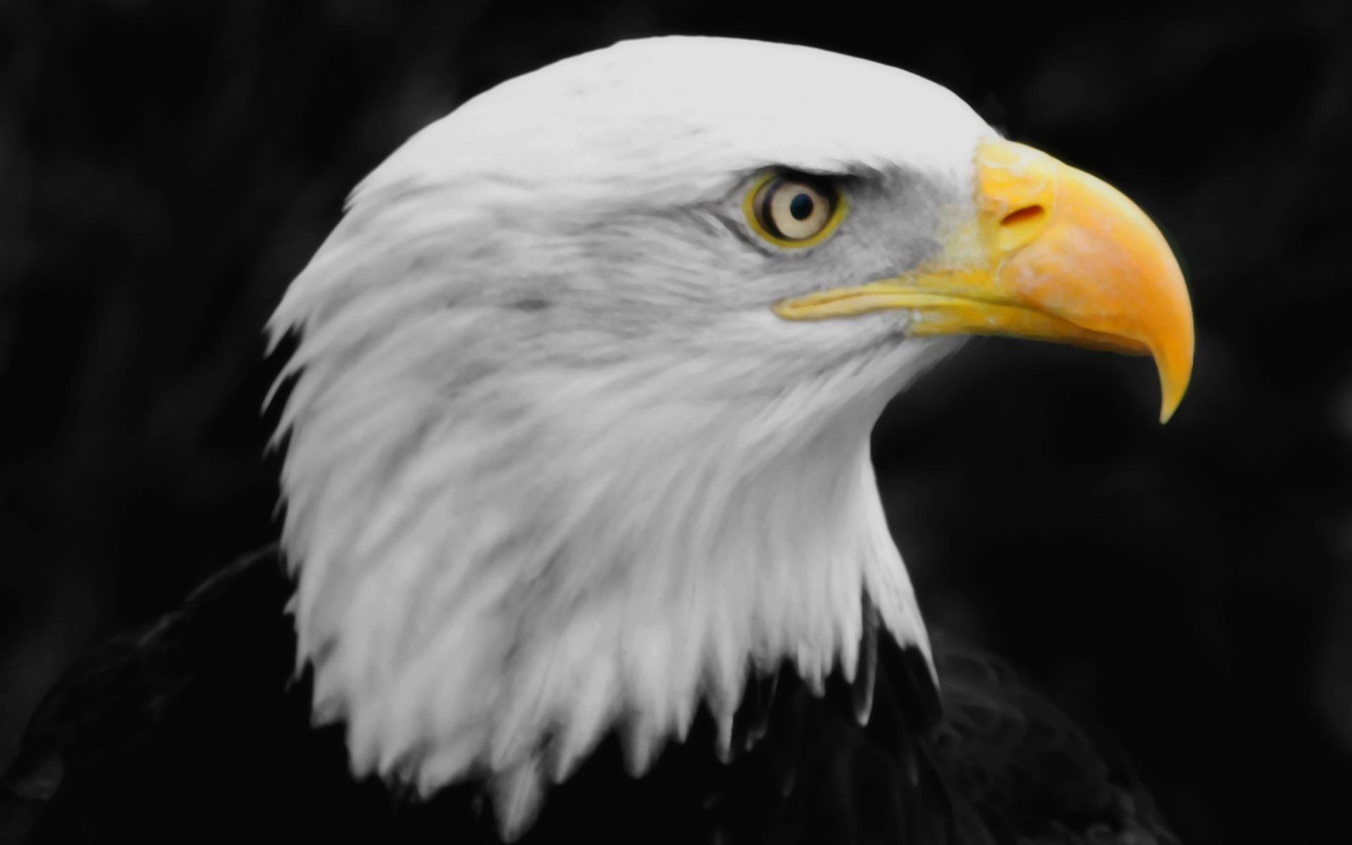 eagle hd wallpaper download 0007