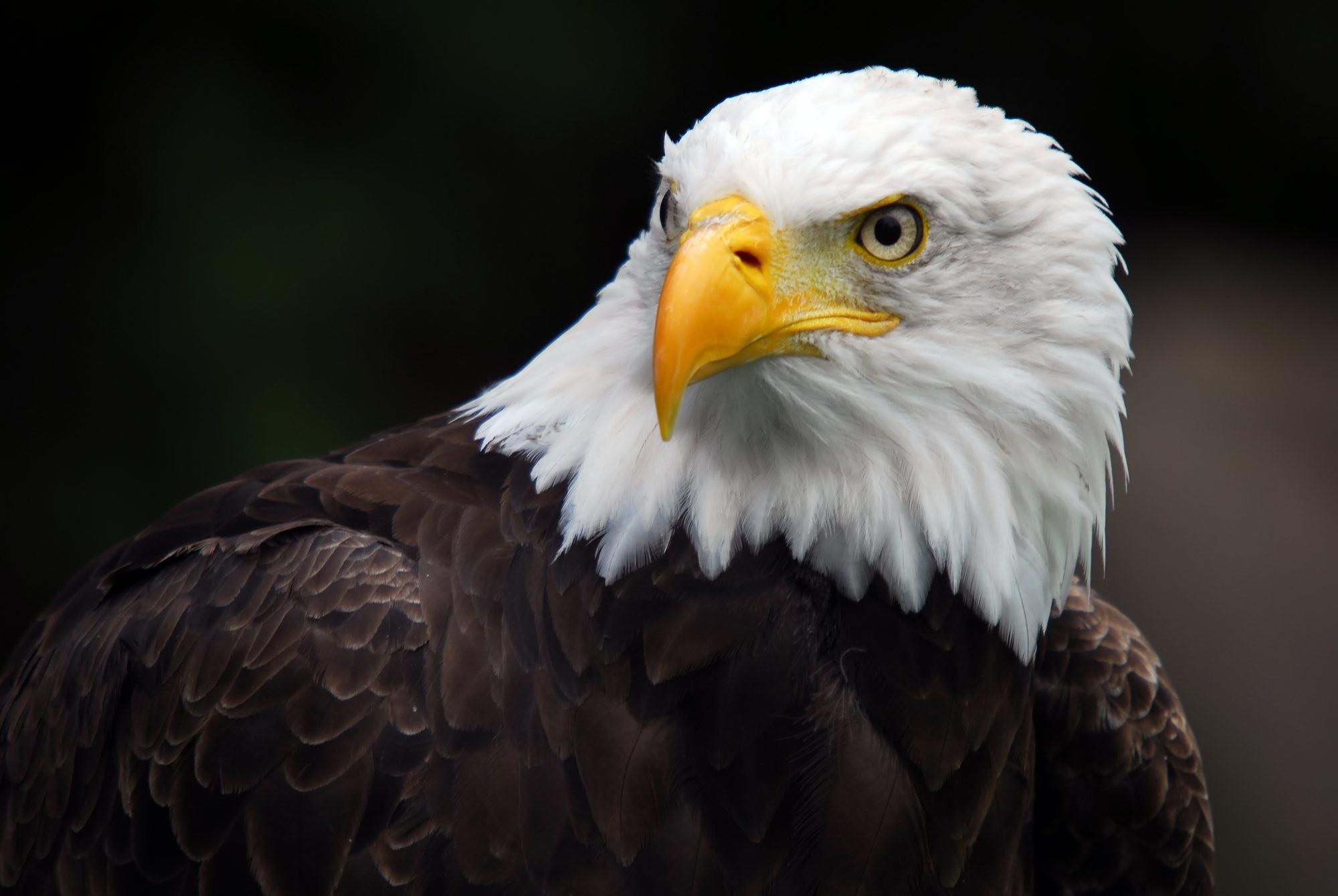 bald eagle and flag pics wallpaper
