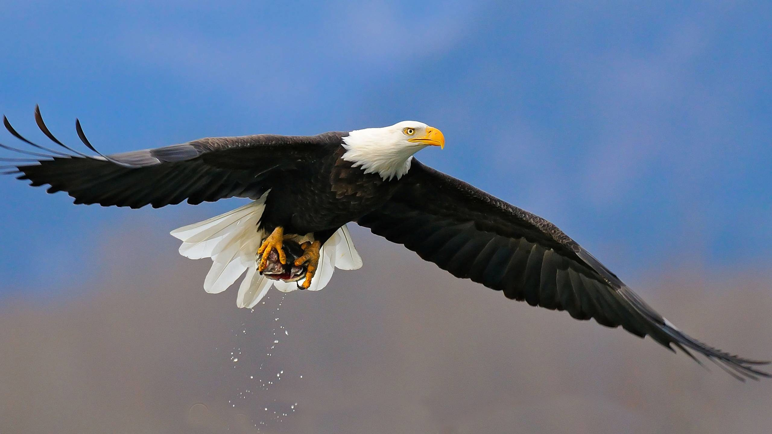 Animal Bald Eagle Wallpaper px Free Download .
