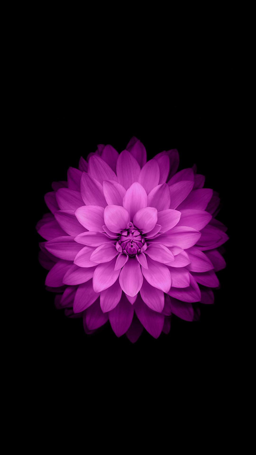 iPhone 6 Plus Wallpaper Official – Purple Lotus Flower