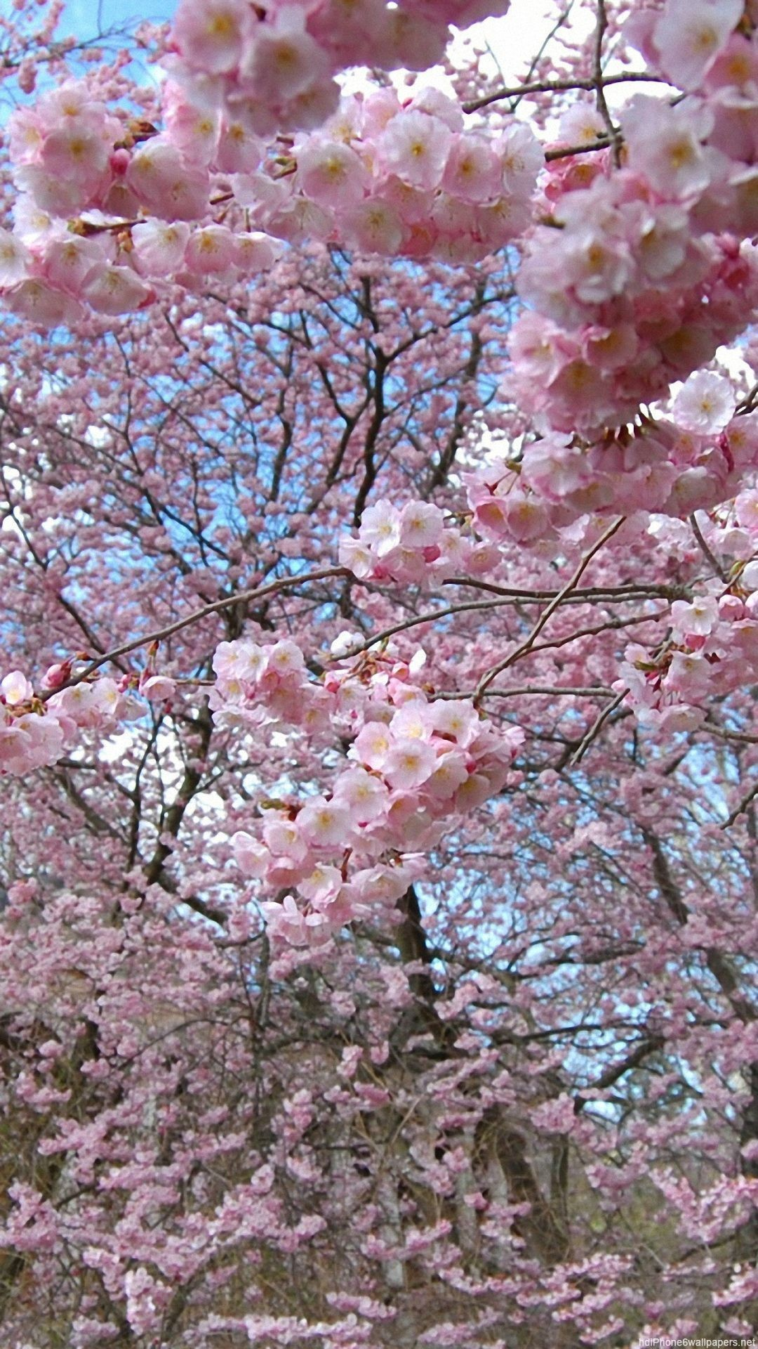 flowers tree spring iPhone 6 wallpapers HD and 1080P 6 Plus Wallpapers