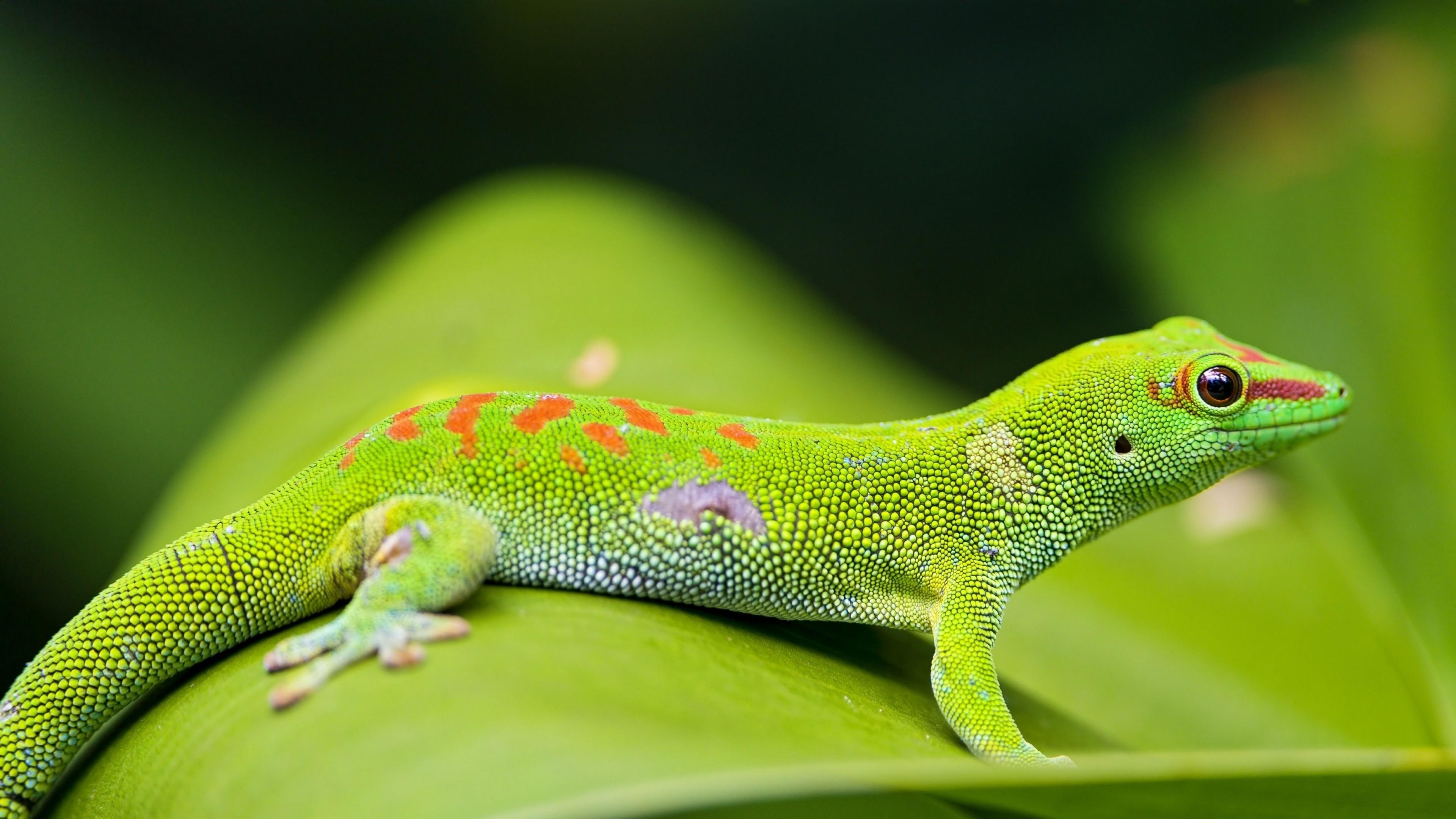 … Background 4K Ultra HD. Wallpaper lizard, gecko, leaf, macro