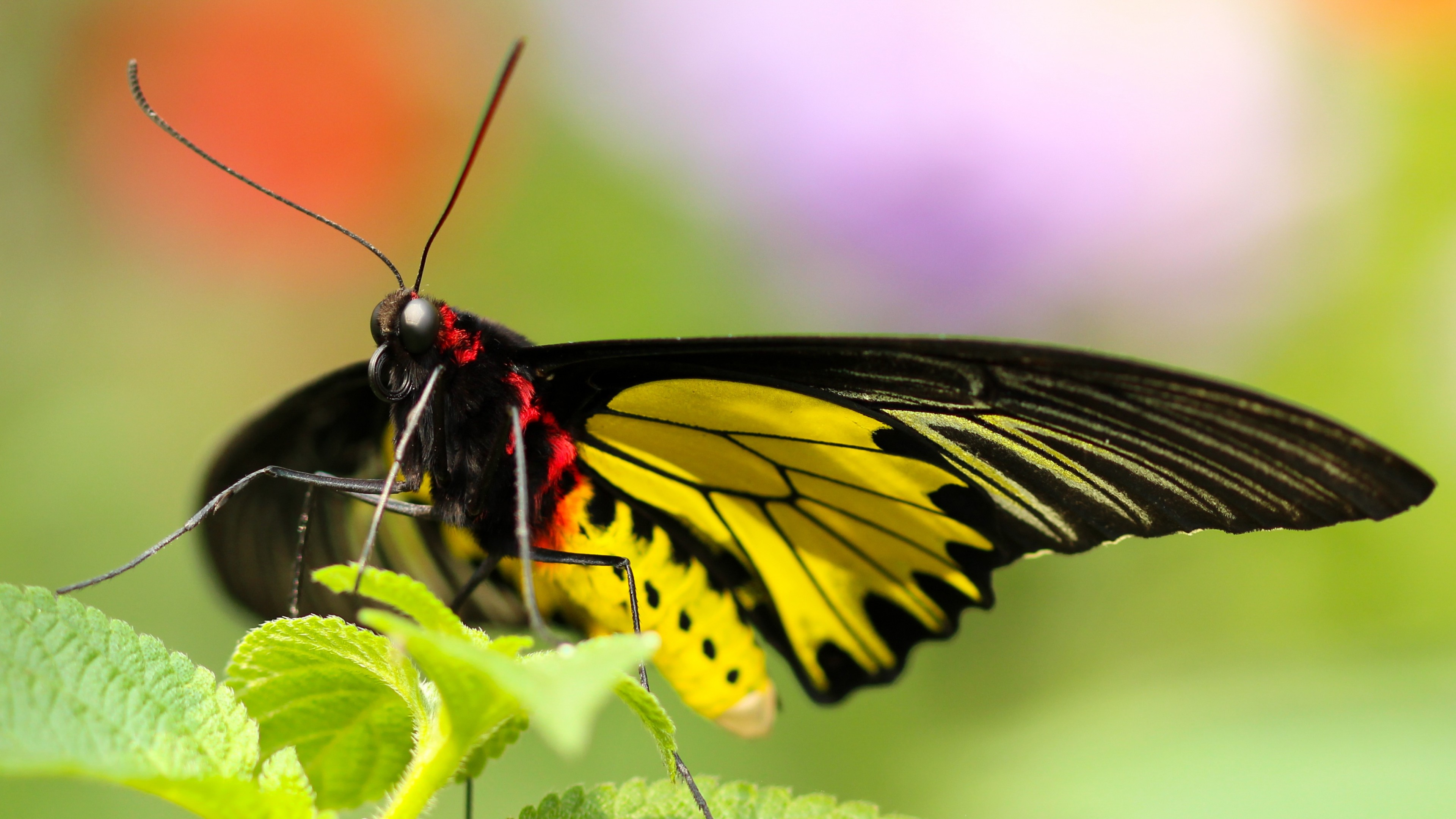 … Background 4K Ultra HD. Wallpaper butterfly, colorful,  close-up