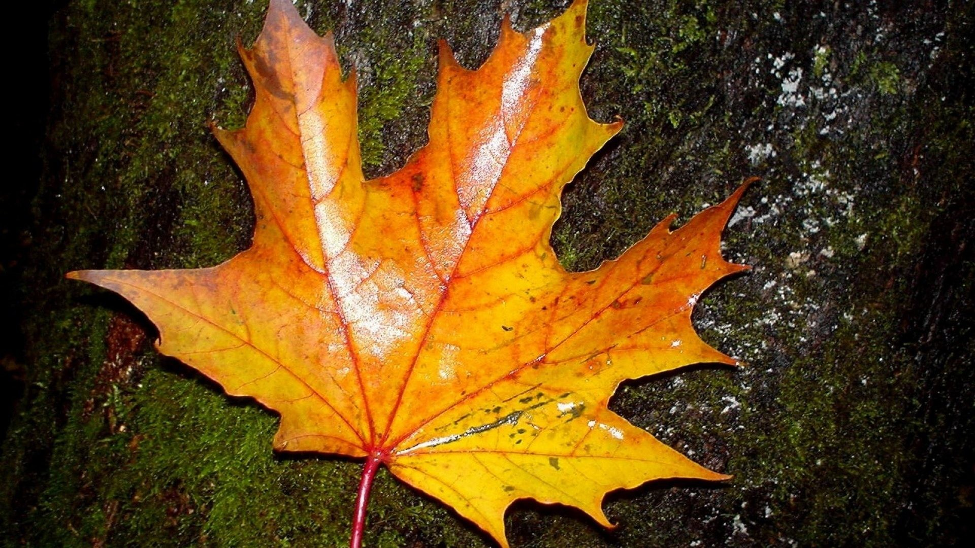 Leaves – Season Autumn Leaf Trees Hd Nature Wallpapers For Iphone 6 for HD  16:
