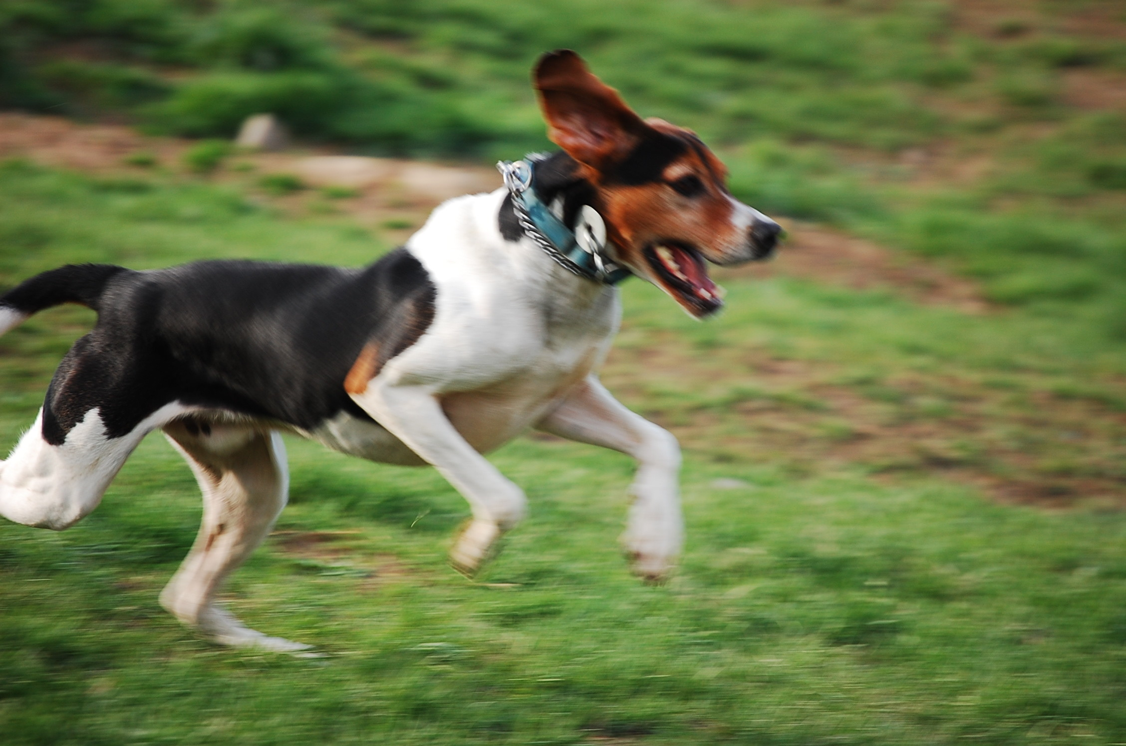English Foxhound new wallpapers