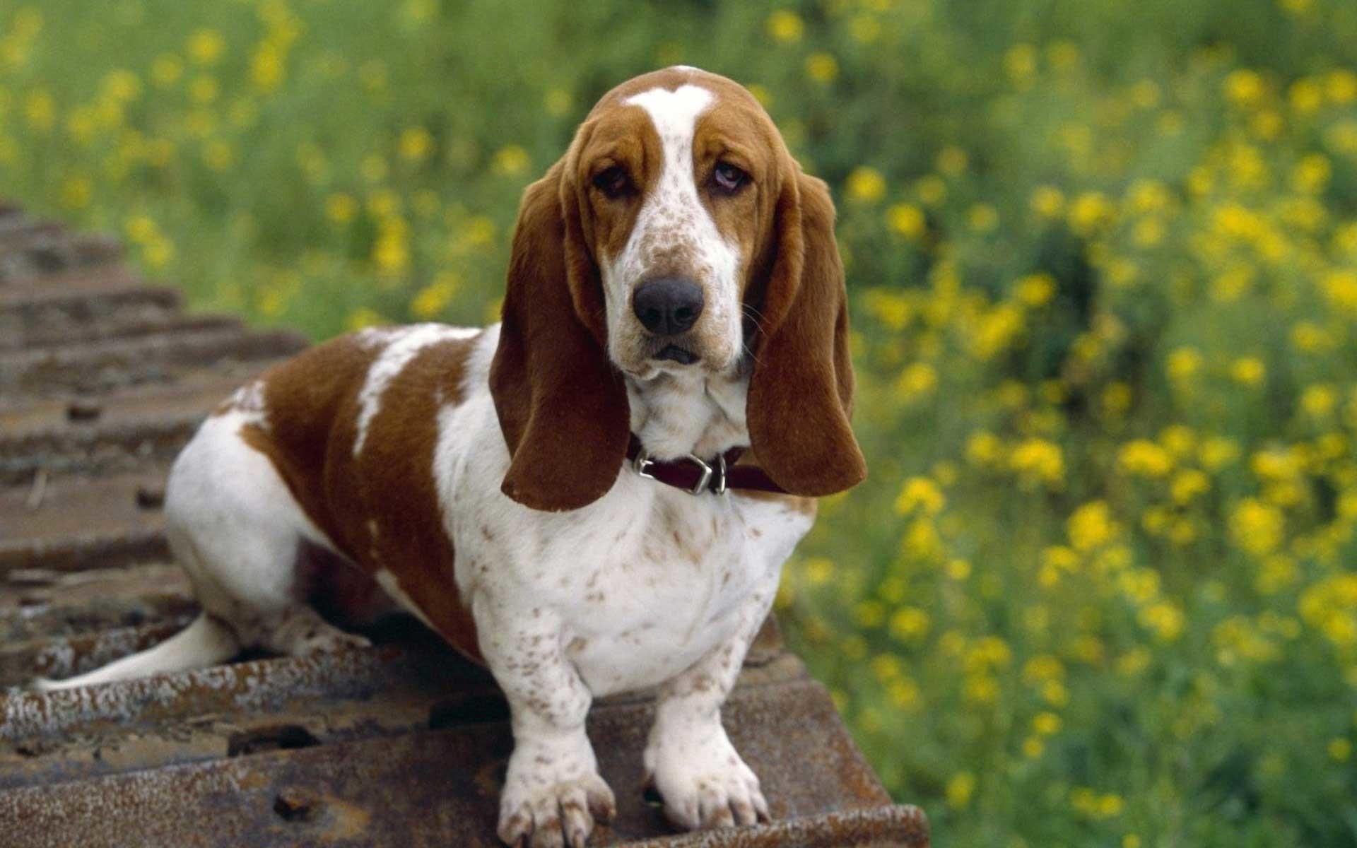 Download American Foxhound Wallpaper HQ Resolution #16161 px  123.85 KB Animals