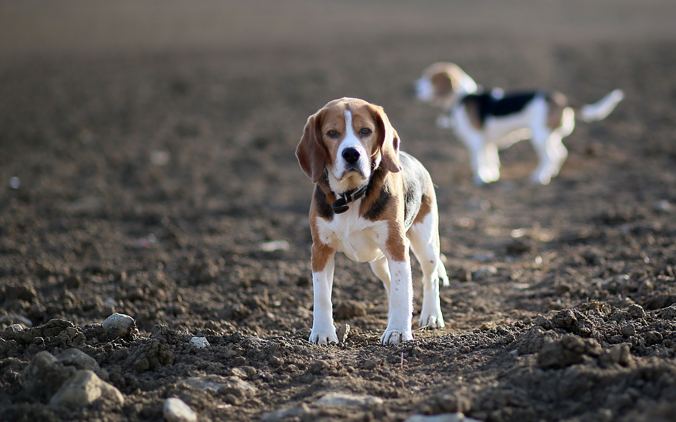 Beagle Widescreen Wallpaper