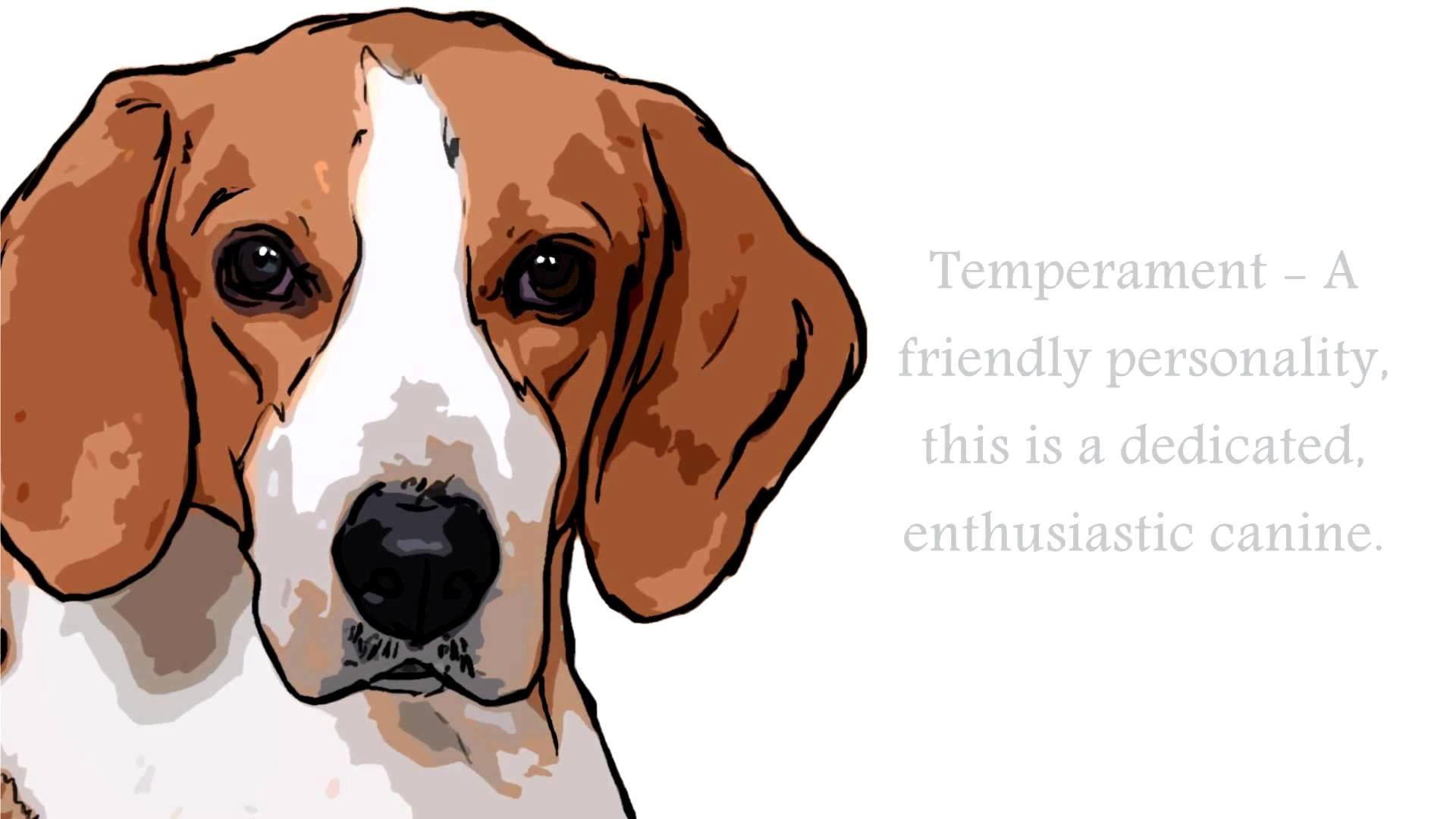 English Foxhound Dog Ä°nformation