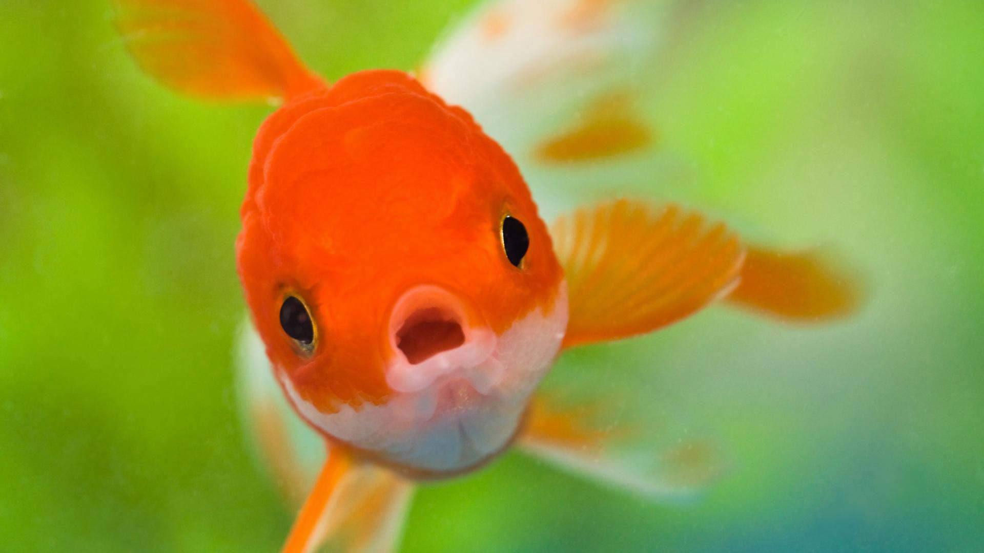 hd pics photos fish cute gold fish desktop background wallpaper
