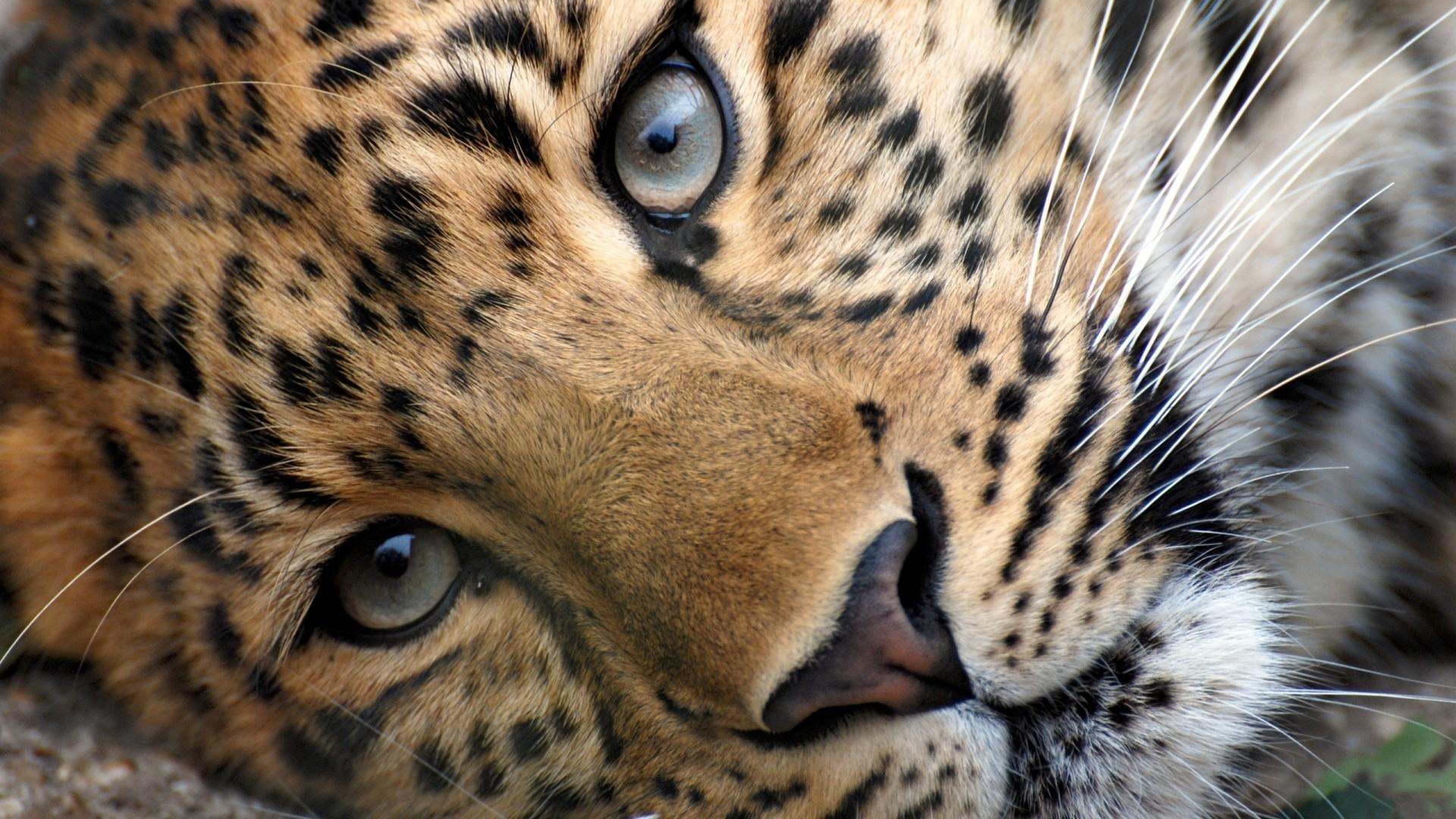 Wallpaper leopard, face, eyes, relax, grass