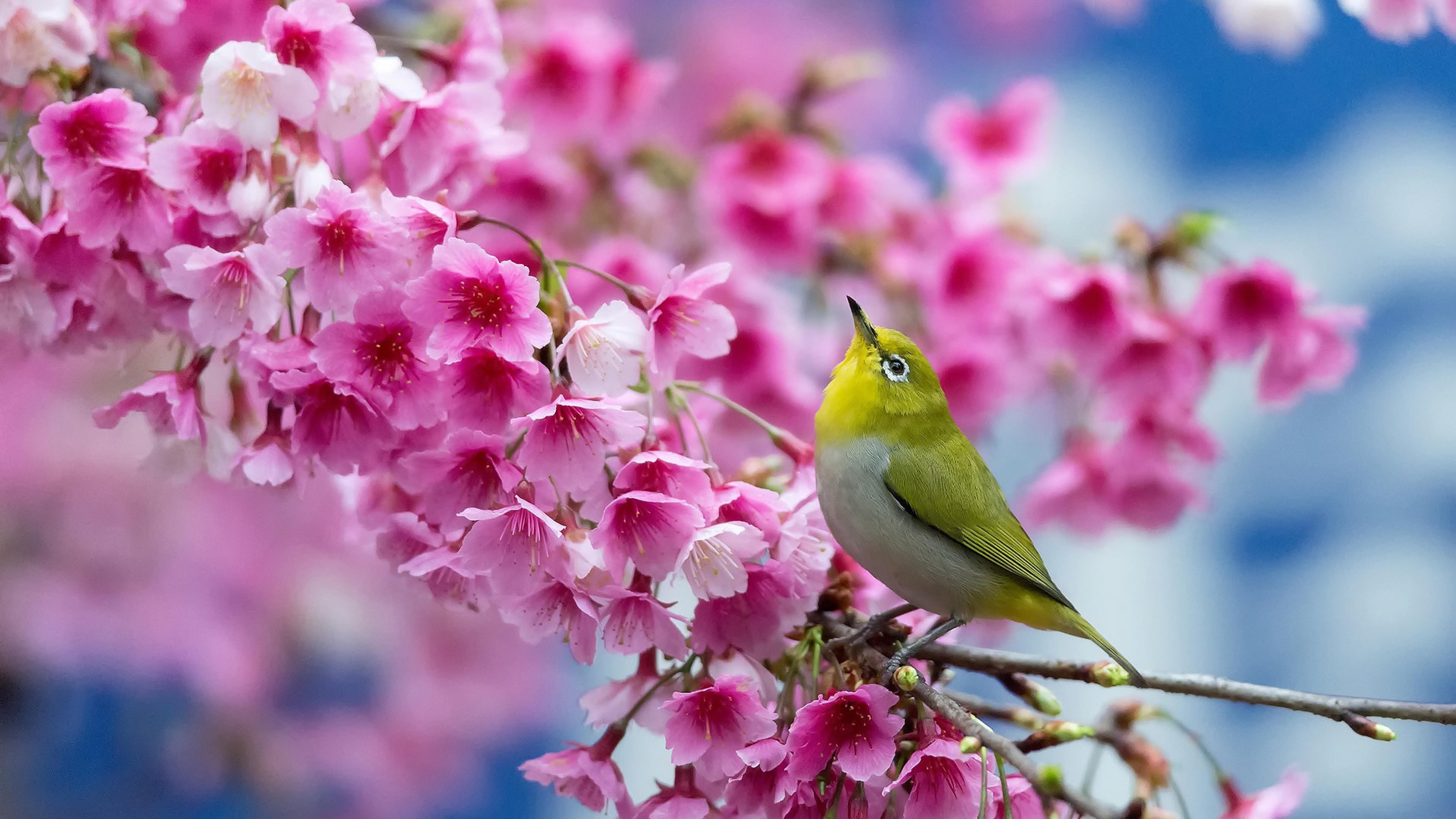 Wallpaper spring, cherry, branch, flowers, beauty, japanese white- eye