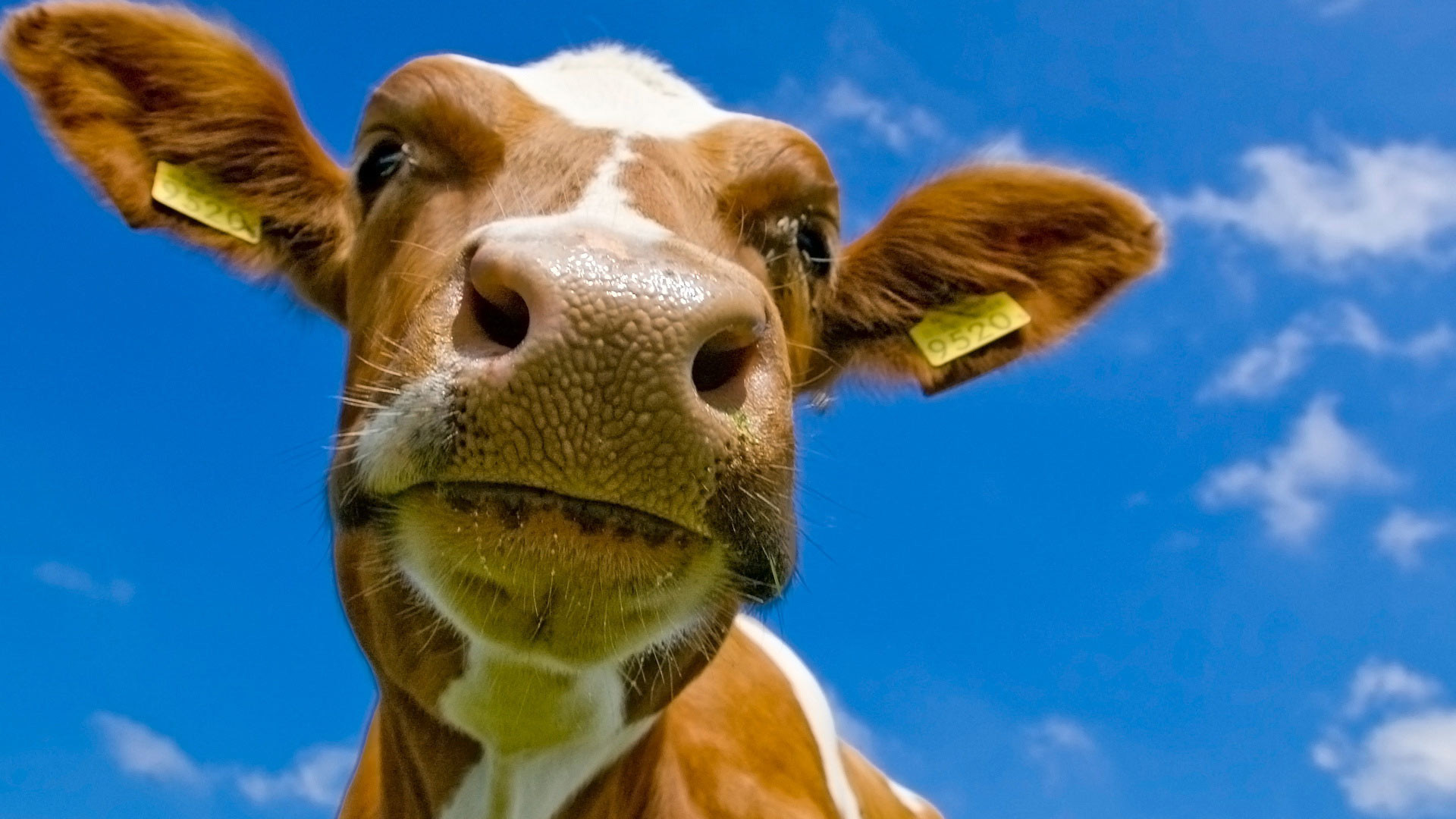 Wallpaper Desktop Background Cow (1)