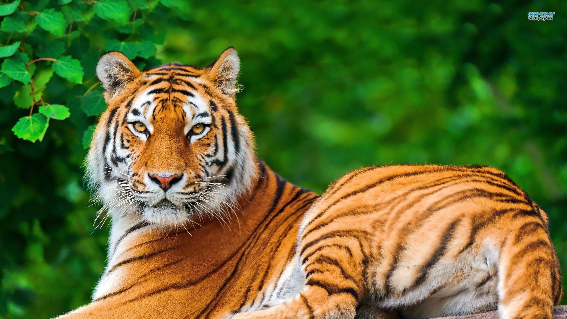 Tiger Animal Wallpaper HD 8 For Desktop Background .