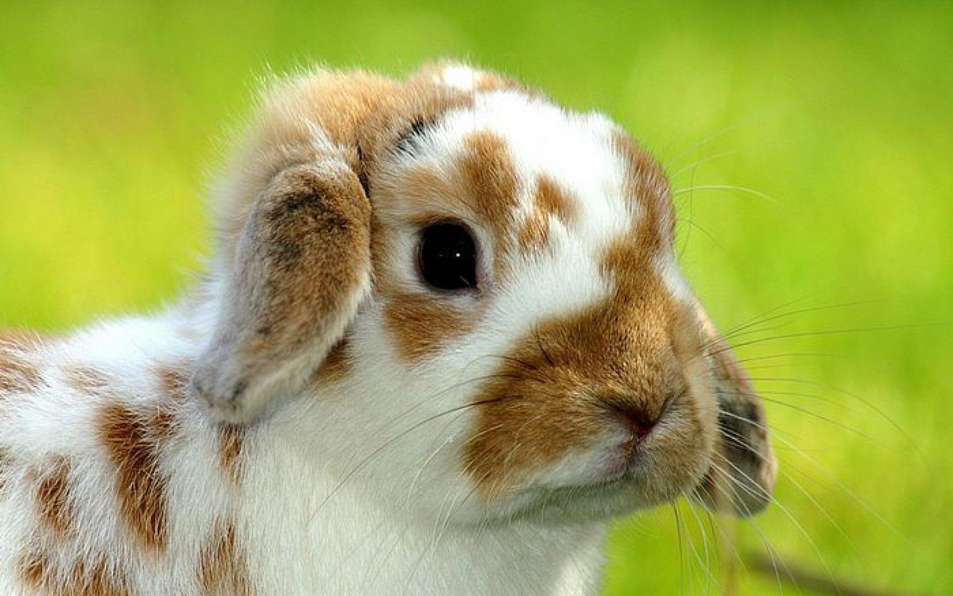 Easter Bunny Wallpaper 2 – Animal Backgrounds
