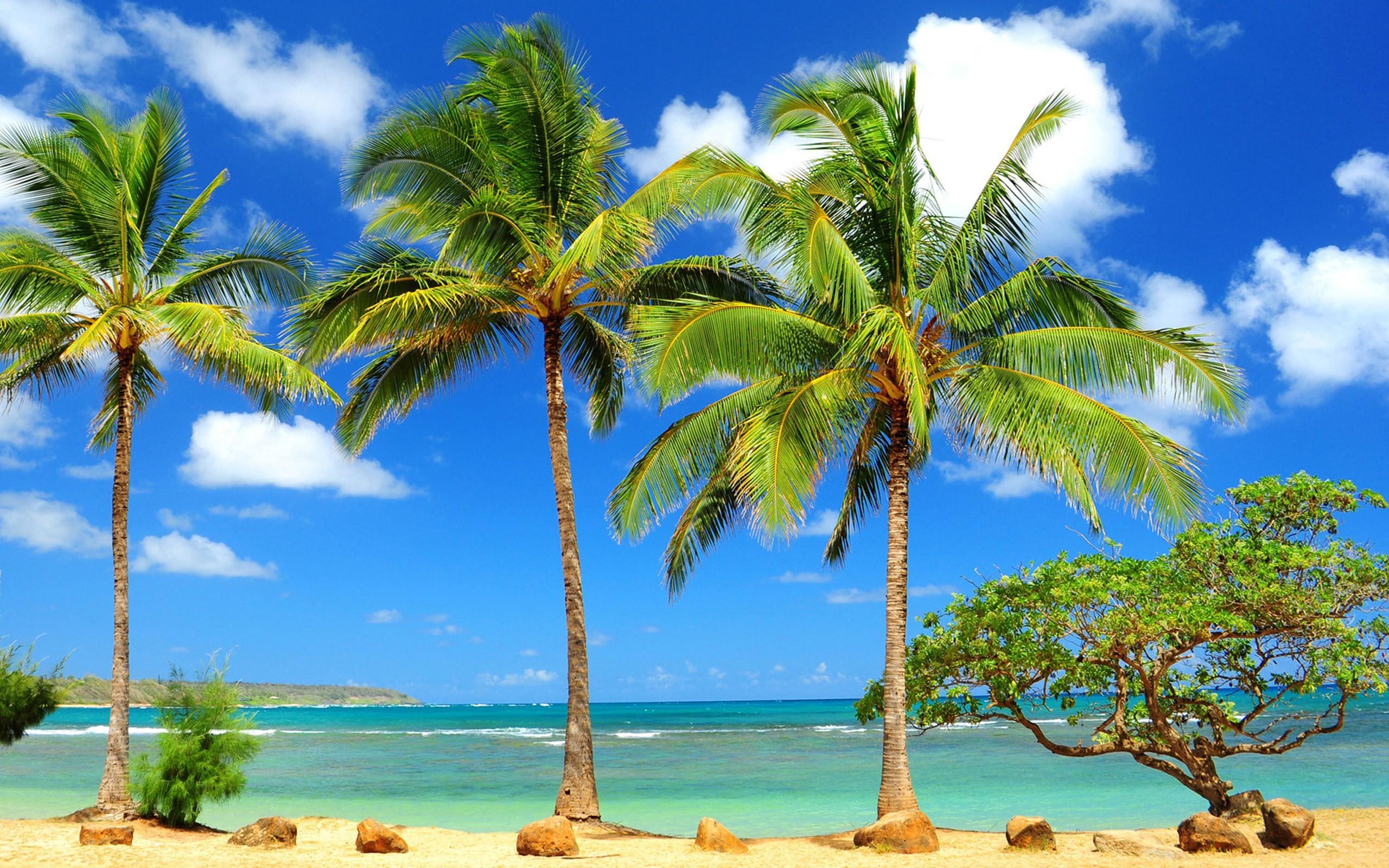 Hawaii Beach Palm Trees