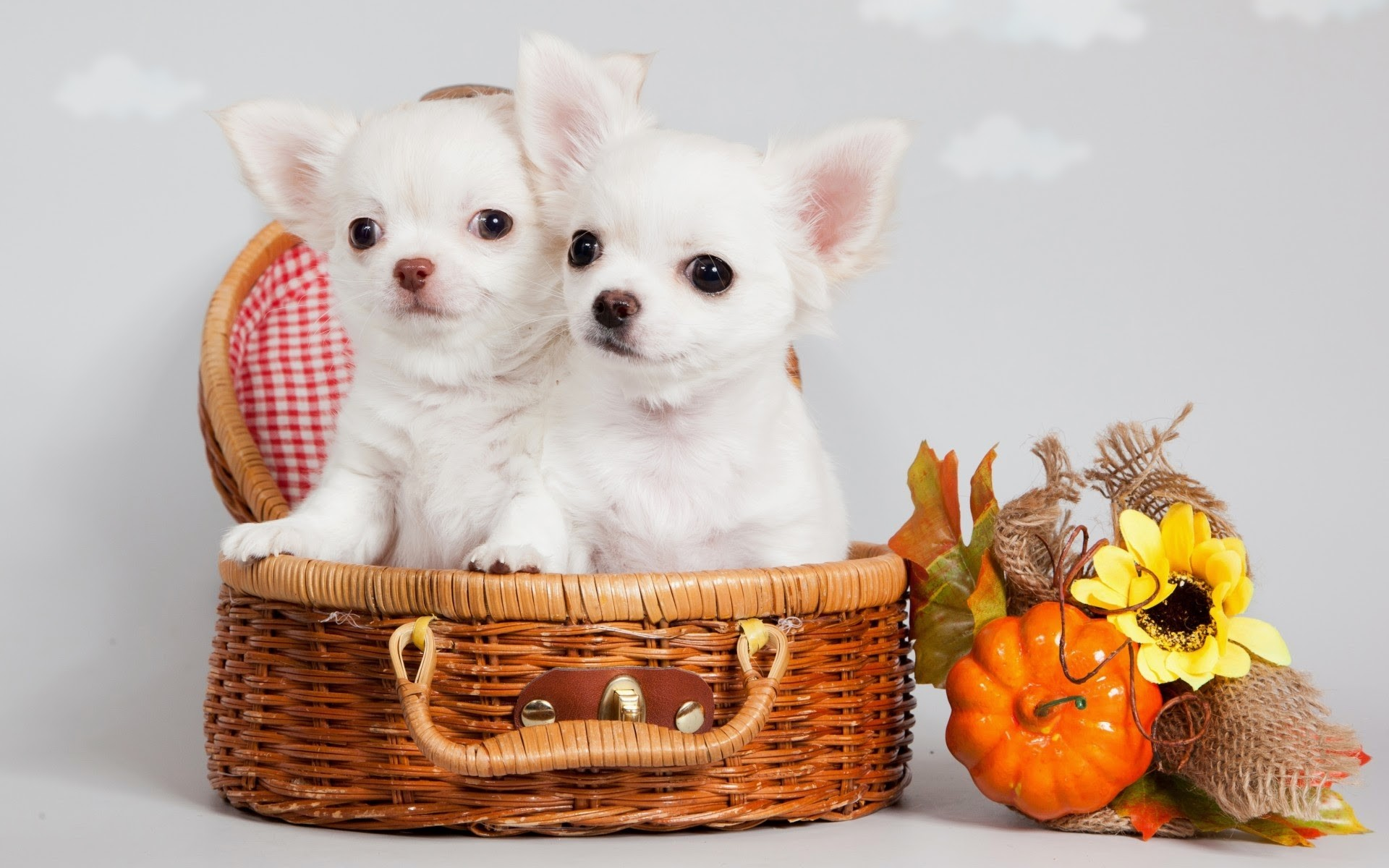 Imagenes De Perritos Chihuahua En Hd Gratis Para Poner En El Celular 6 HD  Wallpapers