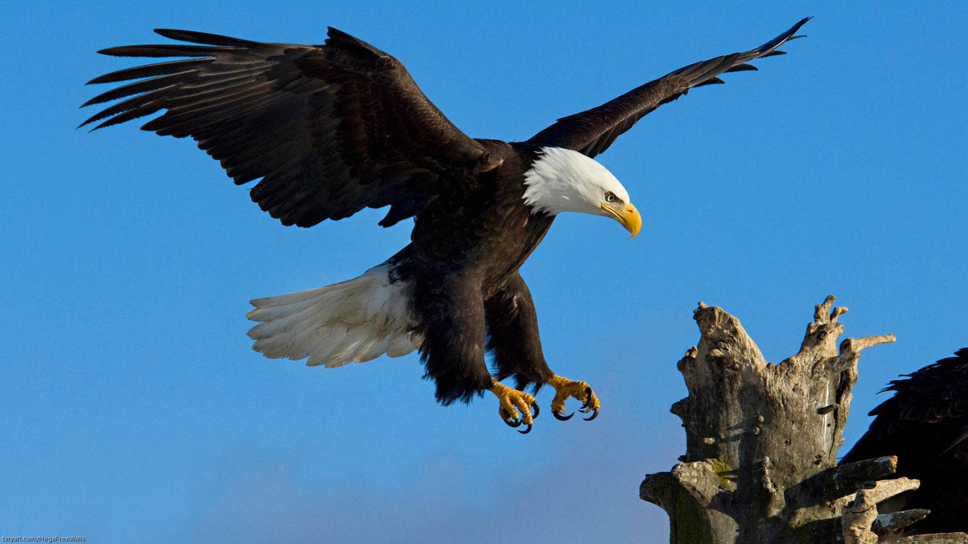 … aguila-real-wallpapers-hd …