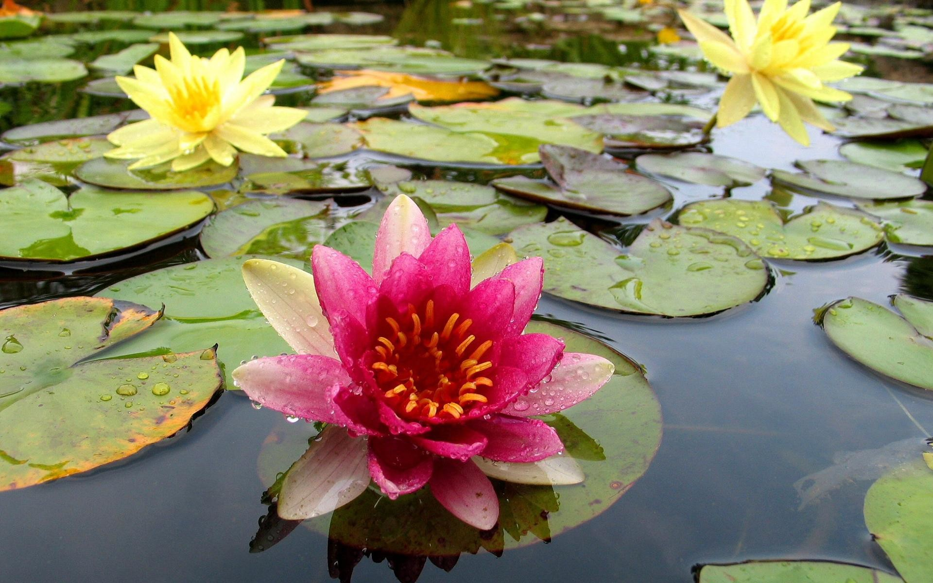 Imagenes De Flores Acuaticas Gratis Para Whatsapp 8   wazaperos.com