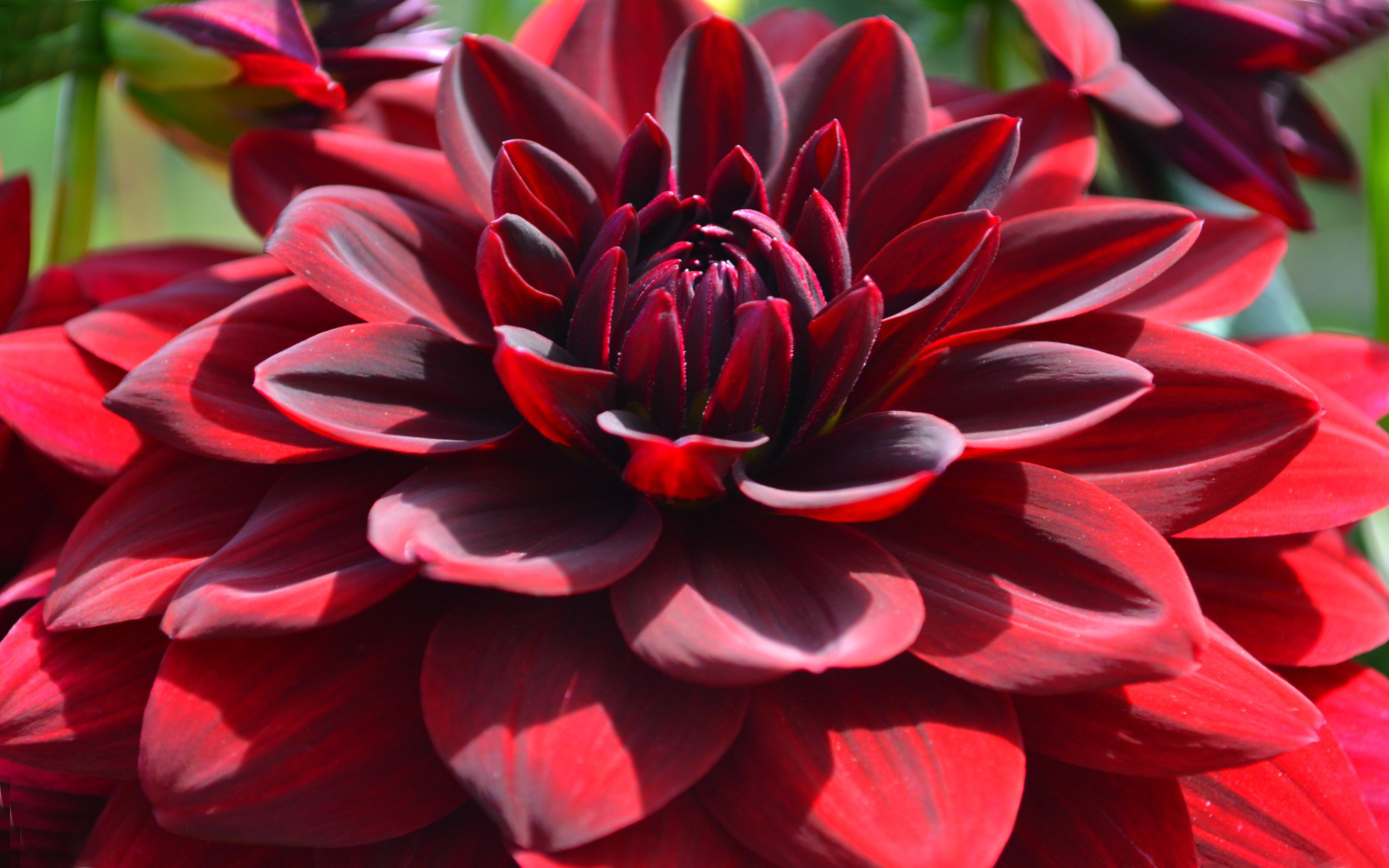 Download Red Dahlia Macro Flowers Desktop Hd Wallpapers For Mobile Phones  And Computer 2880×1800