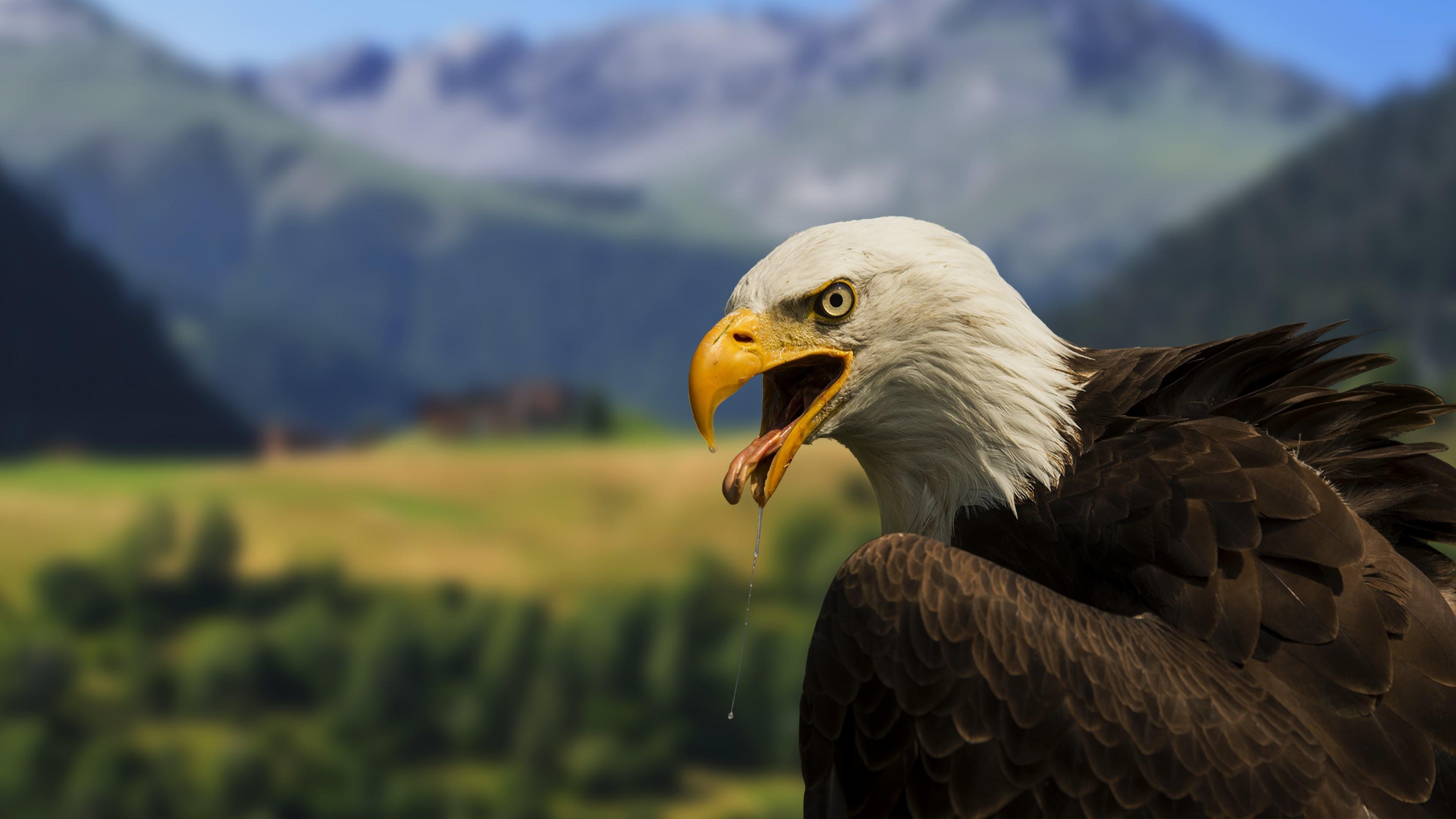 Bald Eagle – 4K Wallpaper :: Full (1080p) & Ultra .