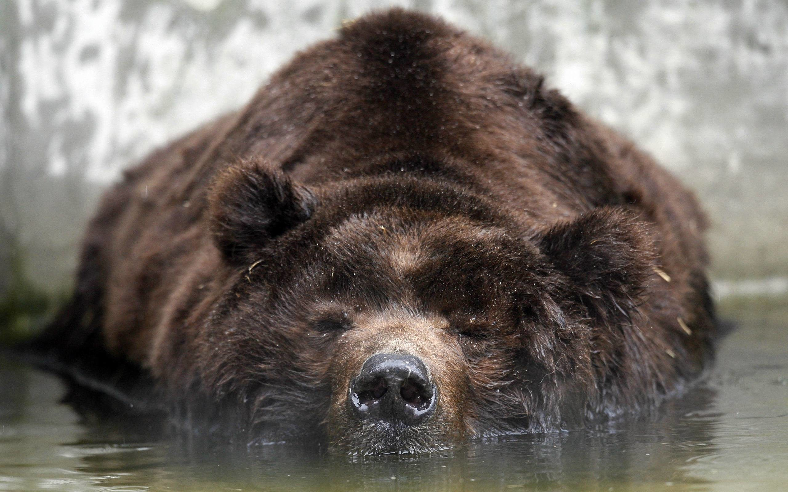 … grizzly bear backgrounds wallpaper cave …