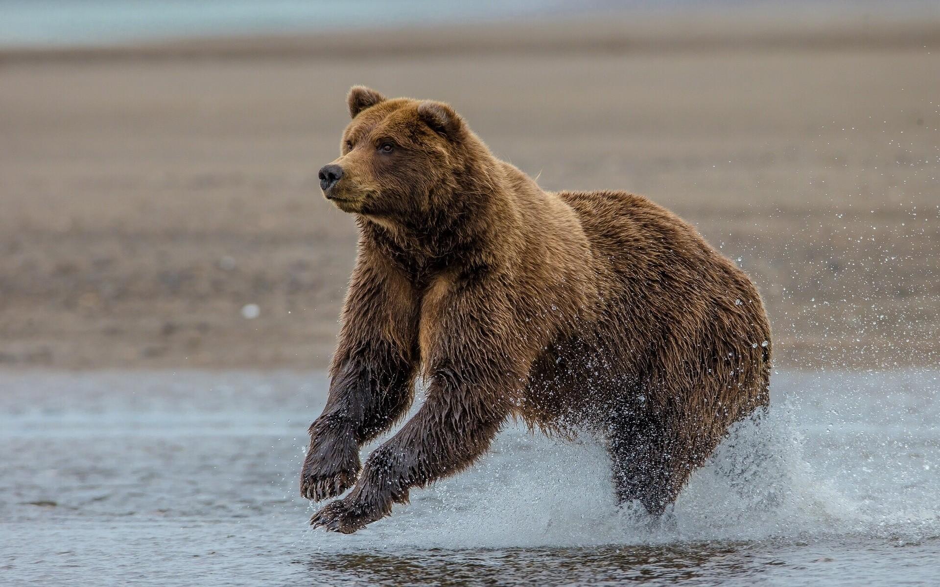 Grizzly bear Lake Clark Alaska wallpaper | .