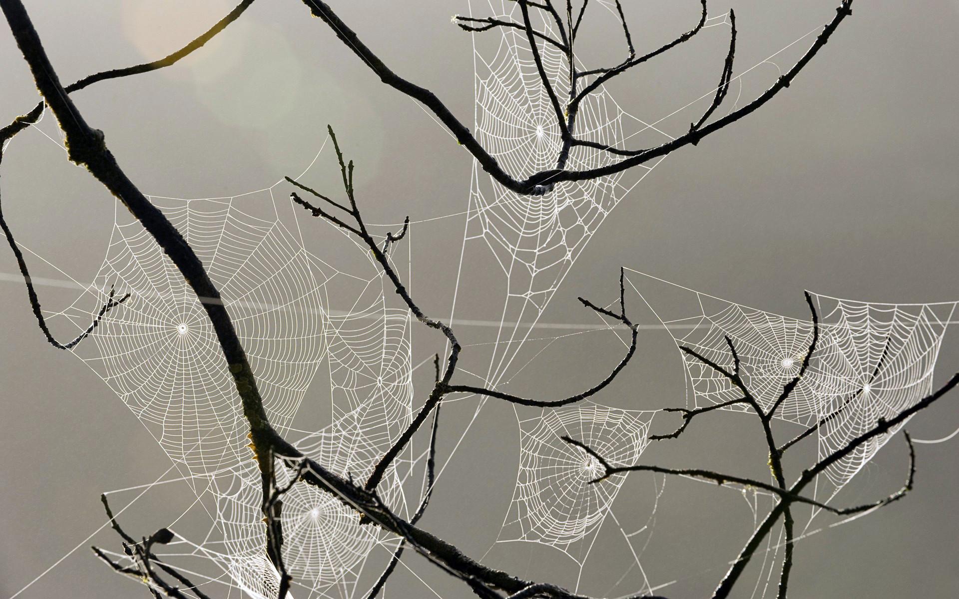 spiderweb webs insects drops dew macro wallpaper
