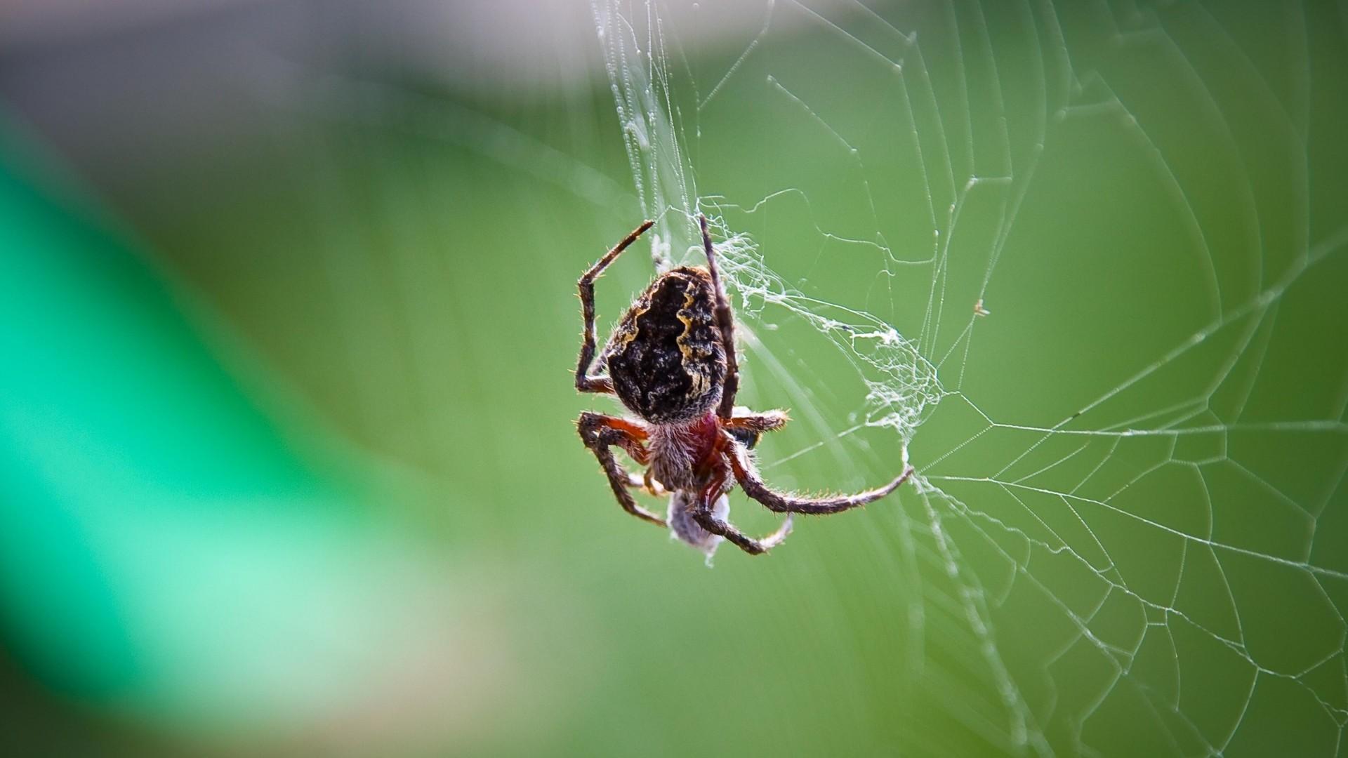 Wallpaper spider, web, weaving