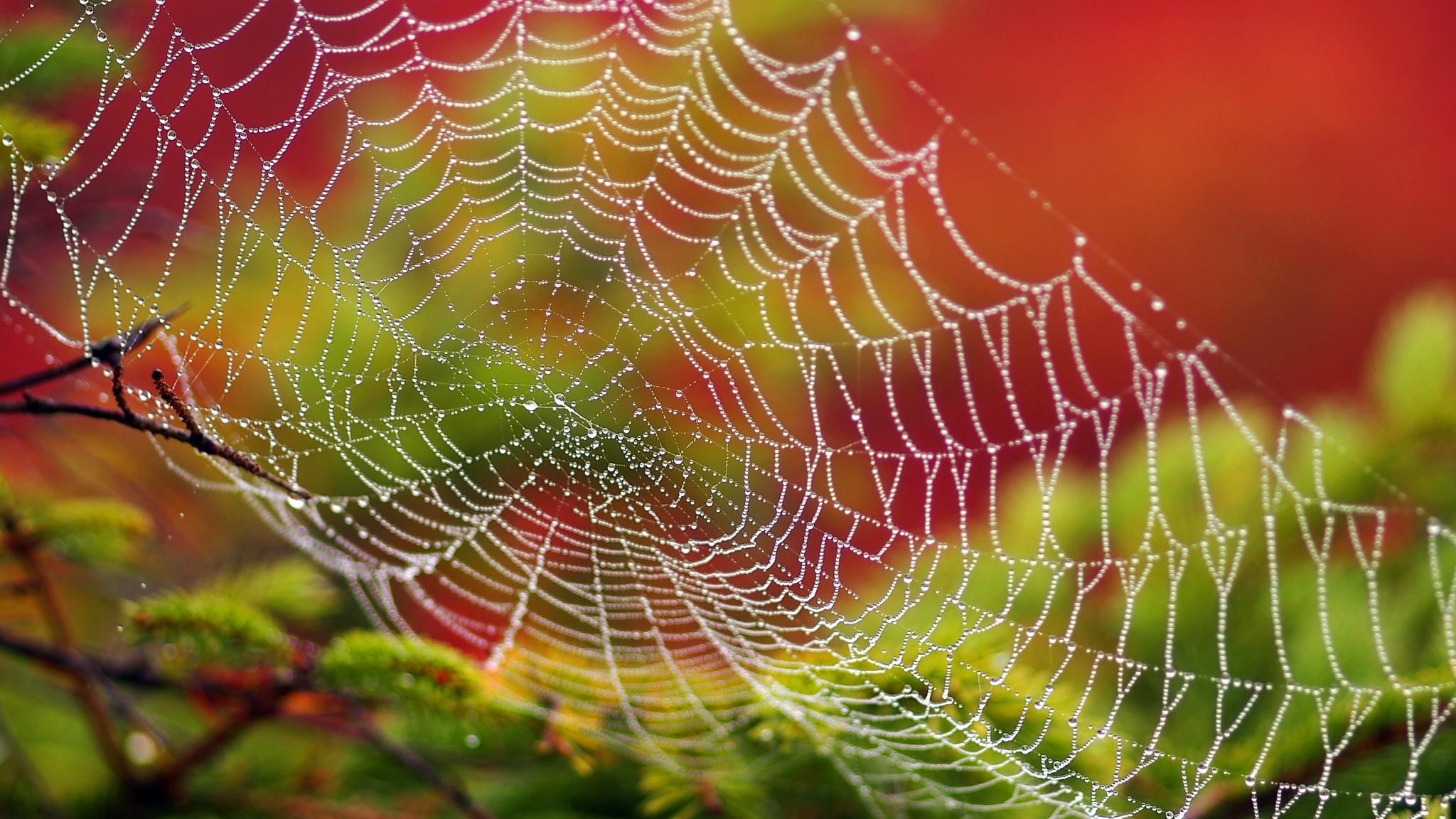Wallpaper spider web, drops, dew, close-up