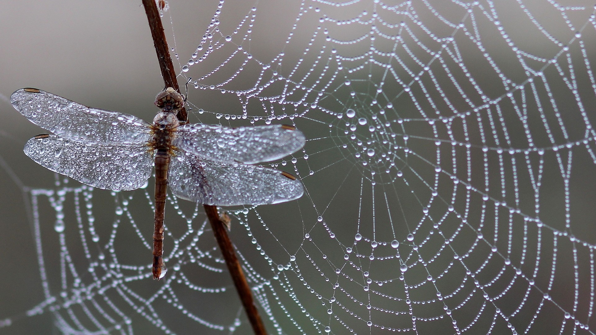 Wallpaper dragonfly, spider web, ice, drops