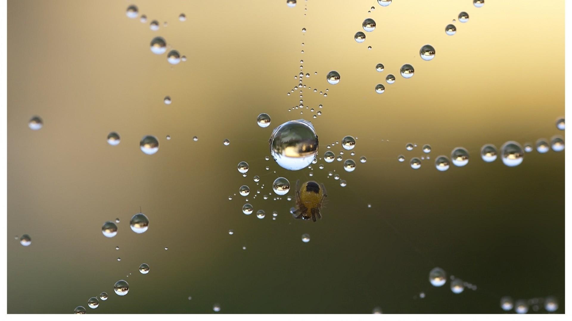 Wallpaper spider, web, drops, dew