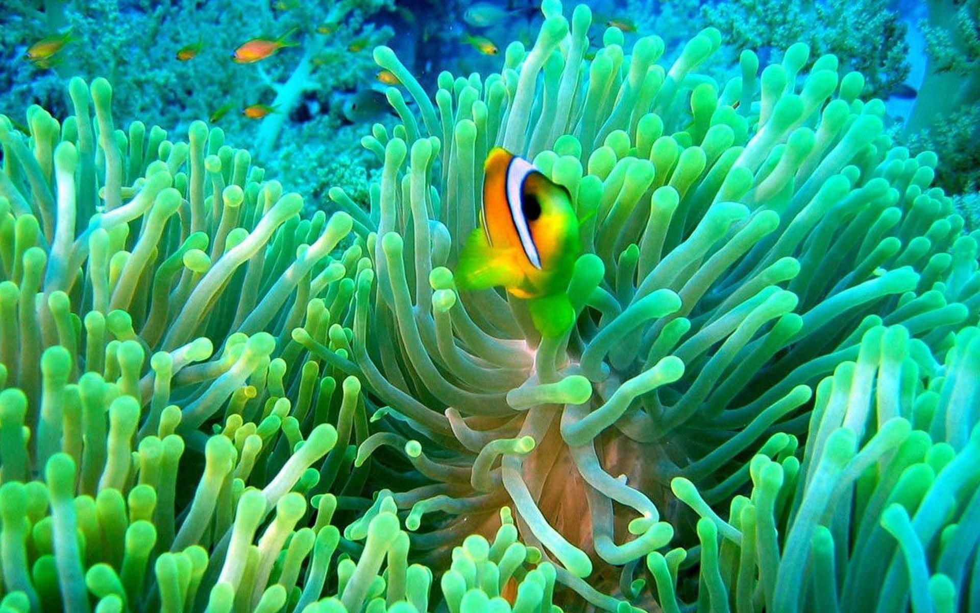beautiful clownfish image
