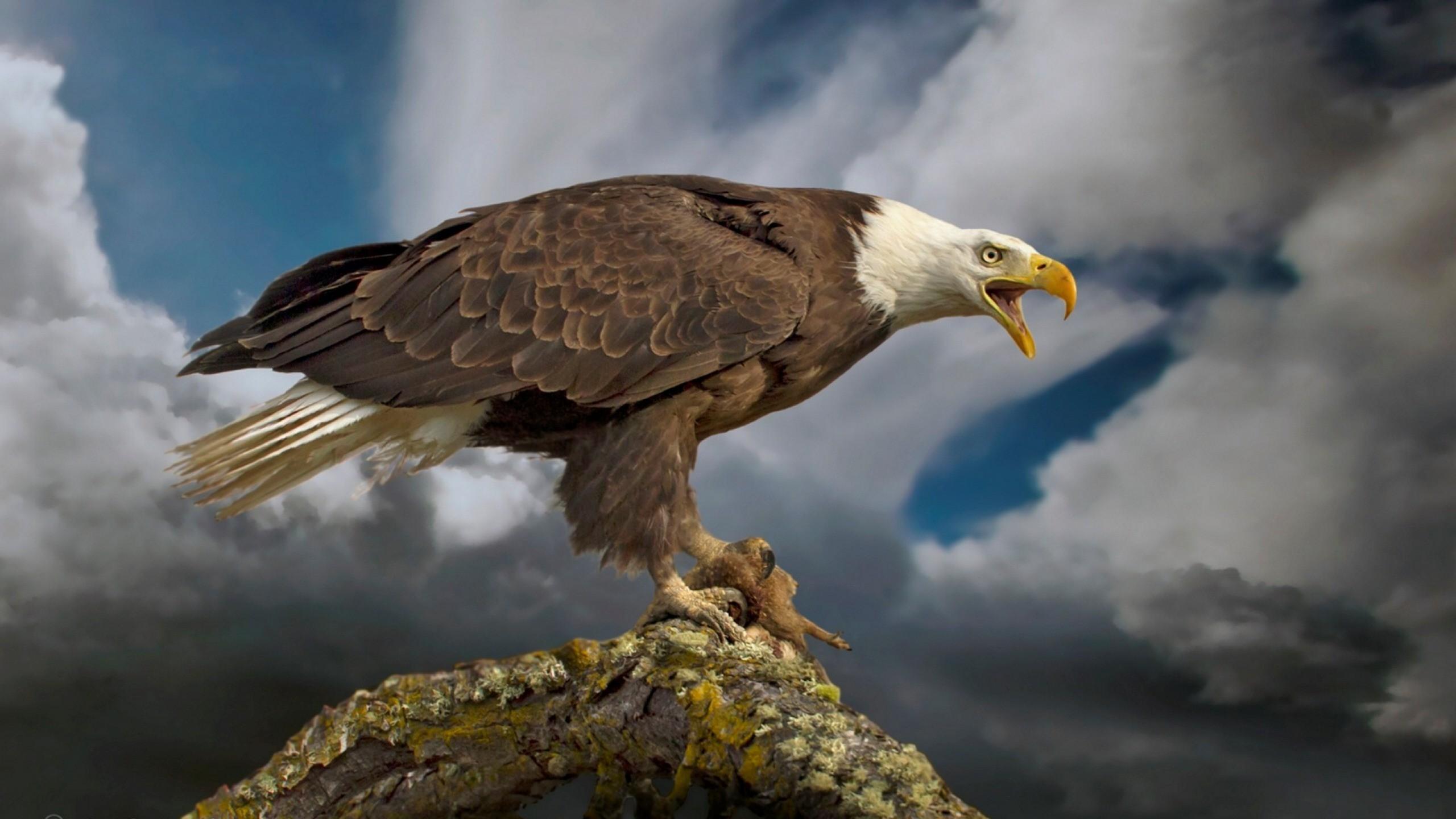 Mirabelle Mcguane, Patriotic Bald Eagle, 2560×1440