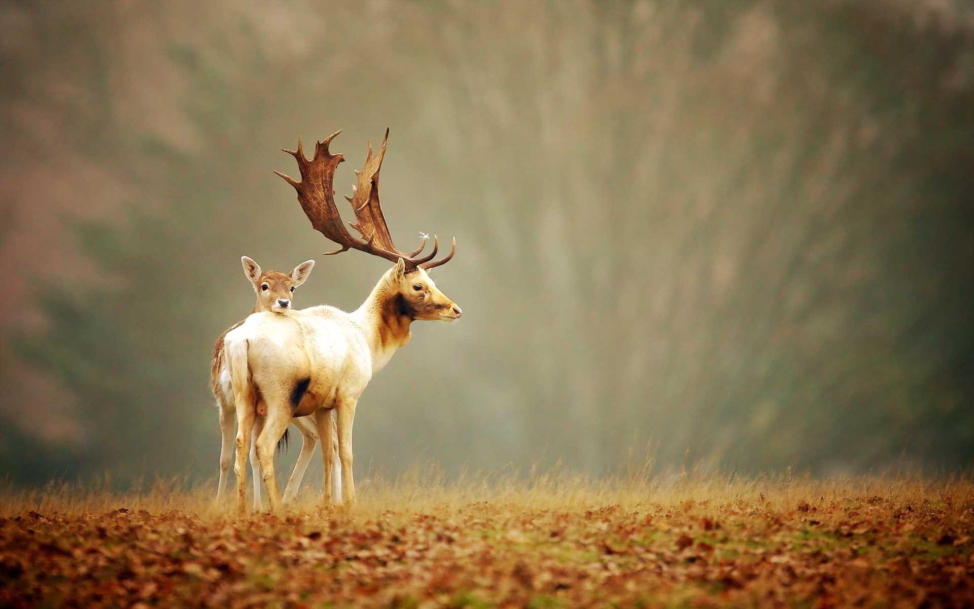 Deer Animals HD Photography