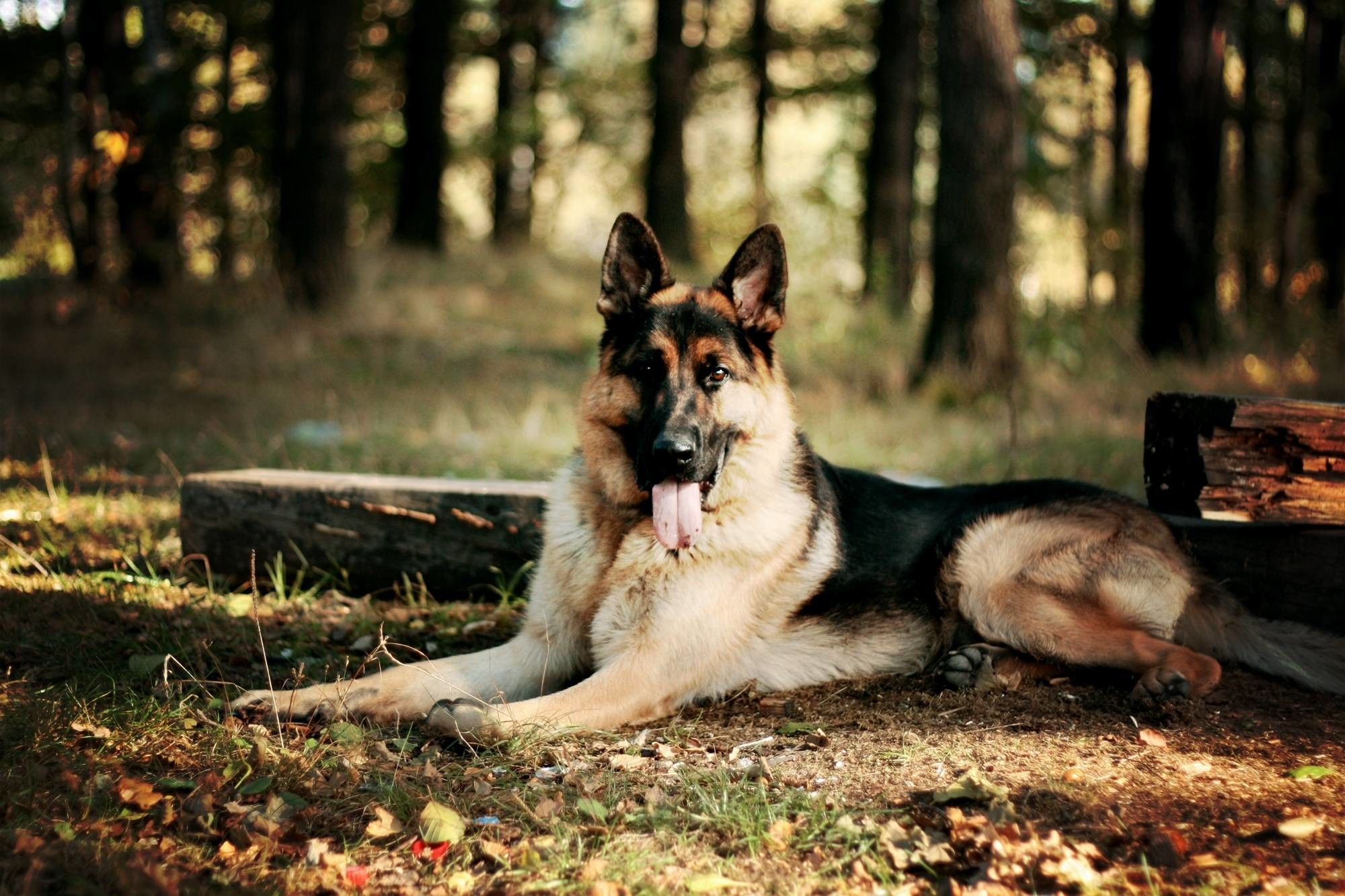 German Shepherd Police Dog Wallpaper #2756 #15187 Wallpaper | SpotIMG