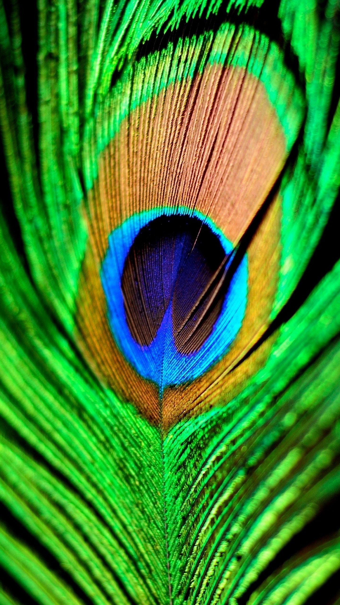 quad hd mobile phone wallpapers peacock feather