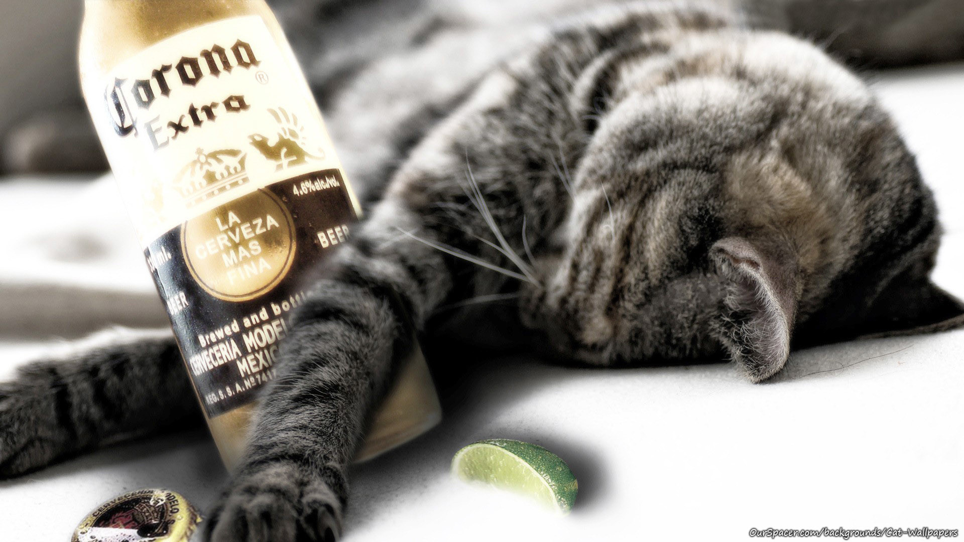 Cat drank too many Coronas wallpapers for myspace, twitter, and hi5  backgrounds. Cat drank too many Coronas wallpaper