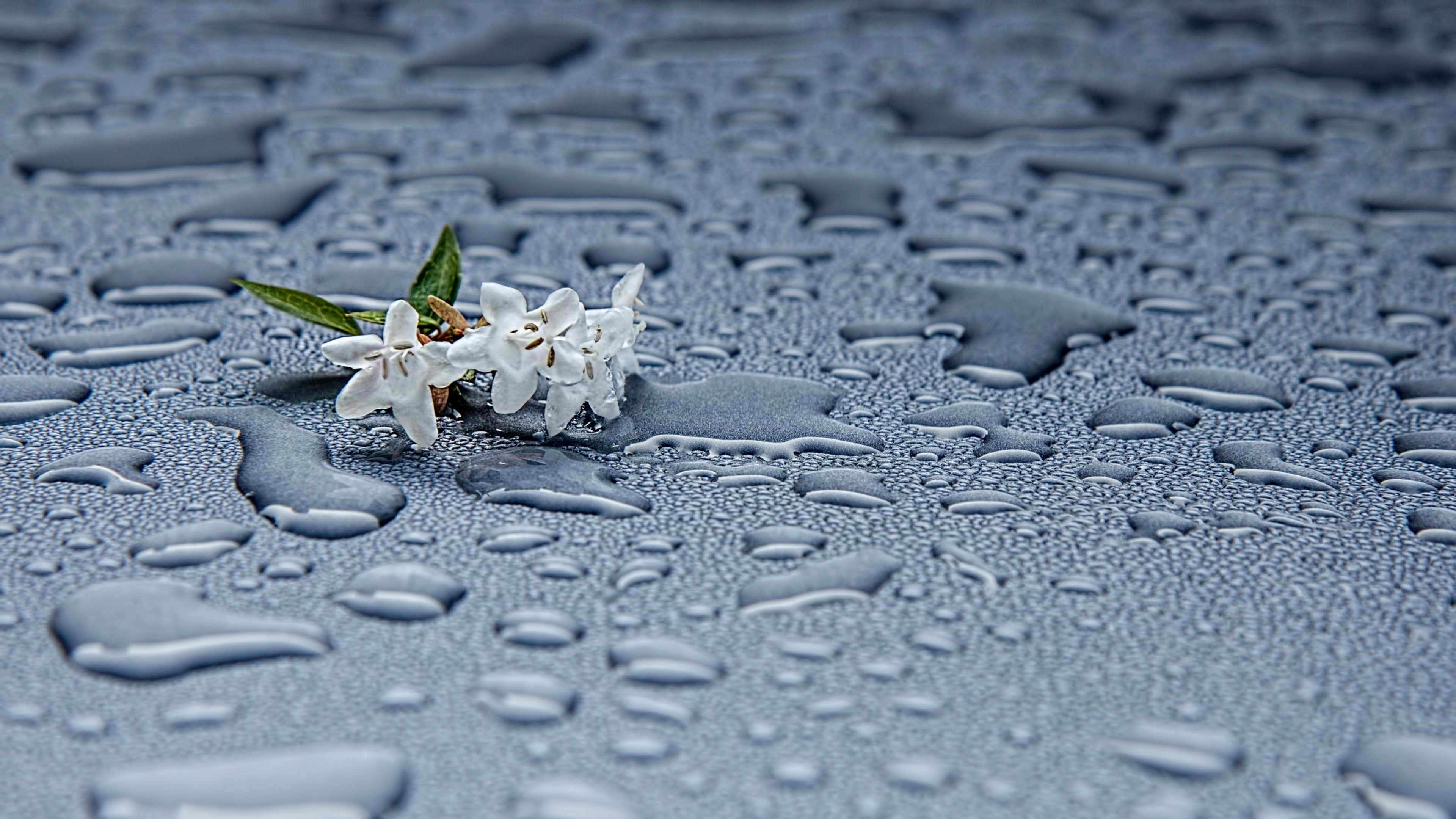 Wallpaper: Rain drops and white flowers
