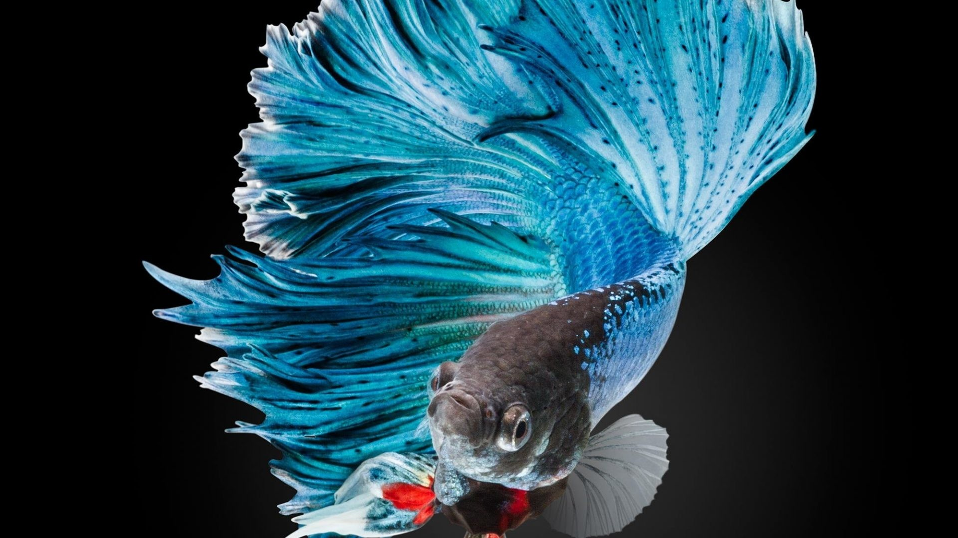 Fighting Tag – Tropical Siamese Betta Colorful Fish Fighting Aquarium Moving  Picture for HD 16: