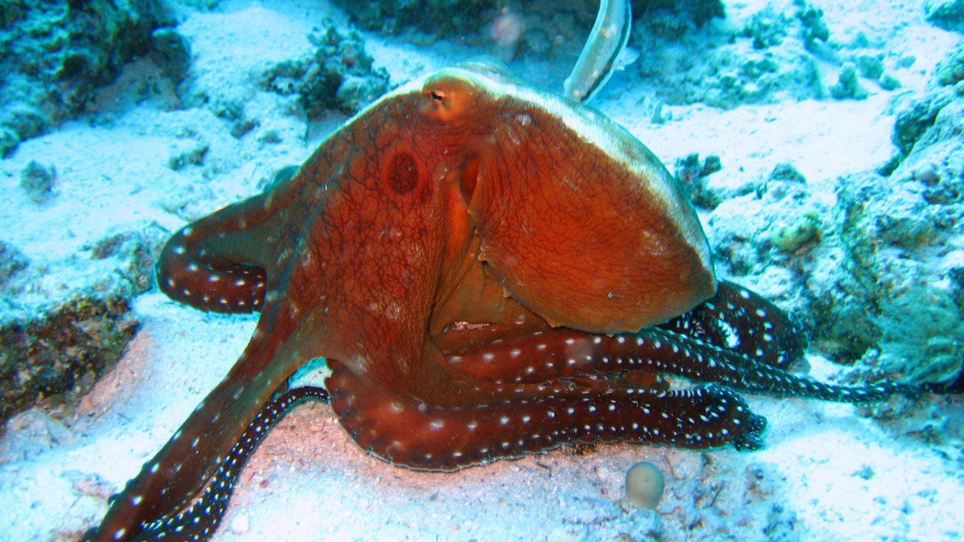 Octopus Tag – Ocean Sea Underwater Octopus Sealife Fish Tank Screensaver  Free Download for HD 16