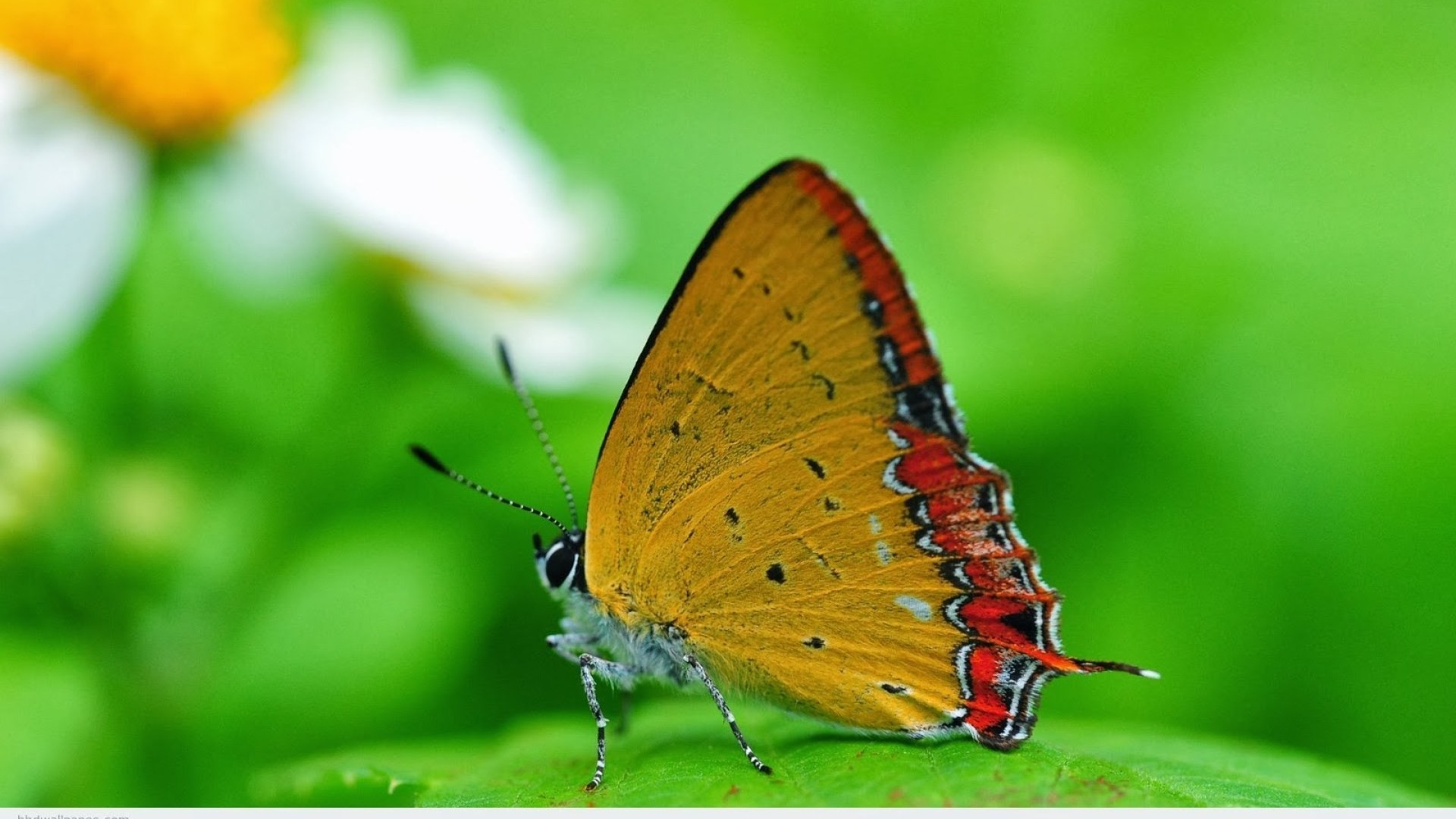 Attachment for full hd nature wallpapers 1080p desktop – butterfly macro …