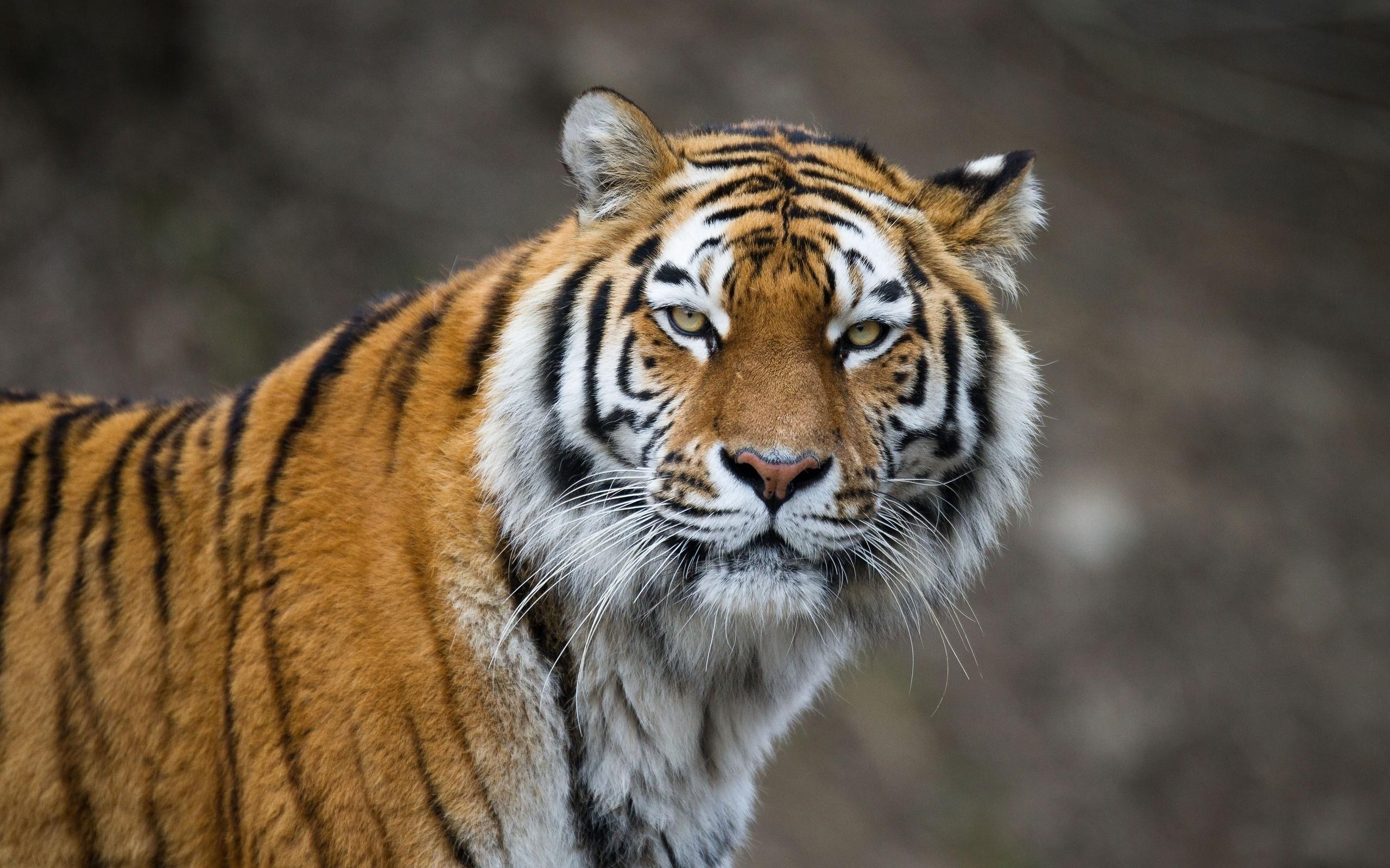 Djur – Tiger Bakgrund