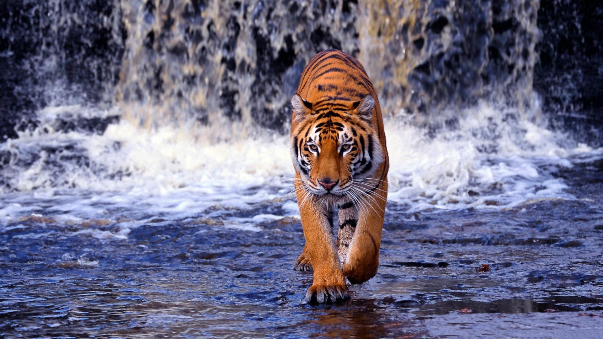 … Tiger HD Animal Wallpapers