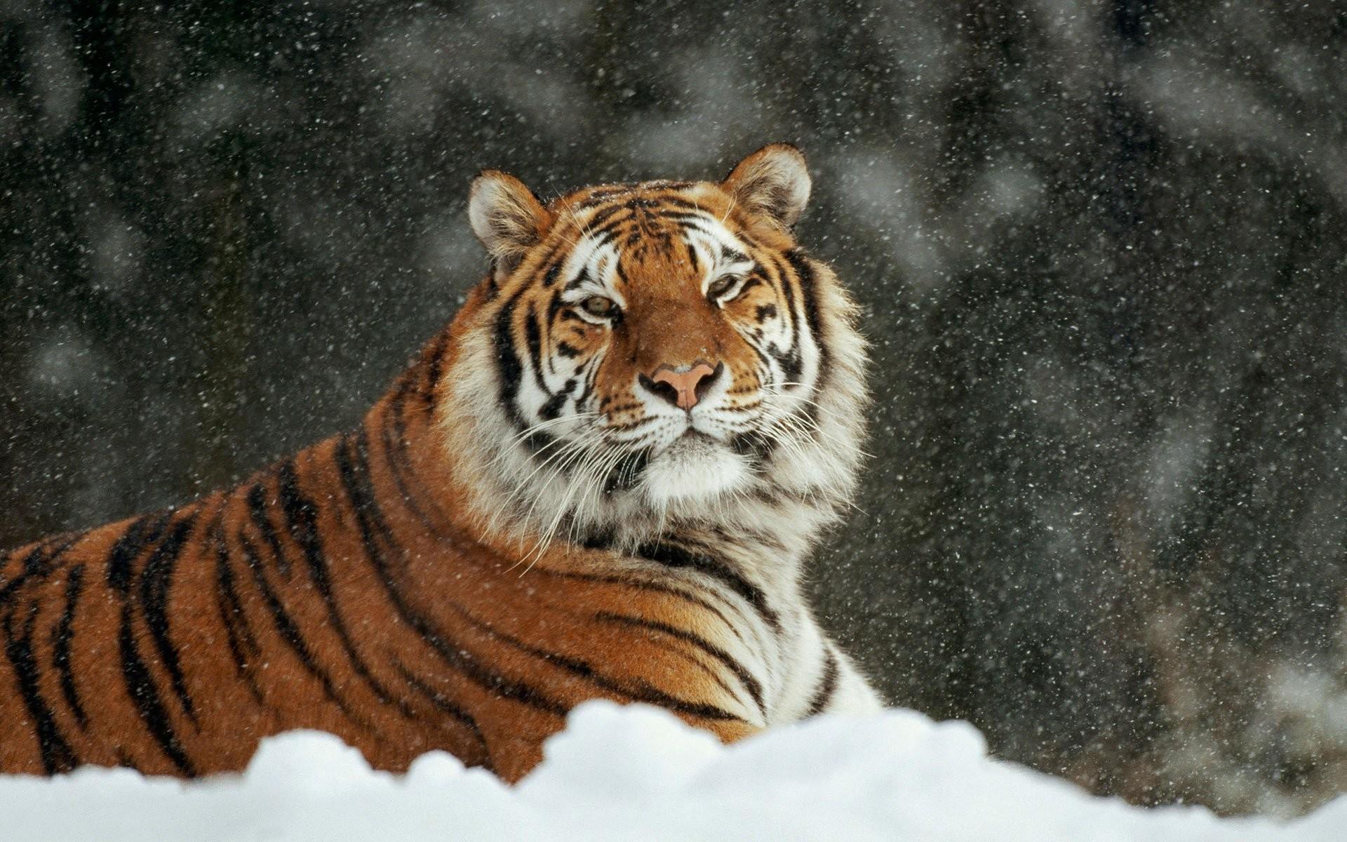 Desktop Hd Baby White Tiger Wallpapers 1024×768 Tiger Wallpapers Desktop  (53 Wallpapers)